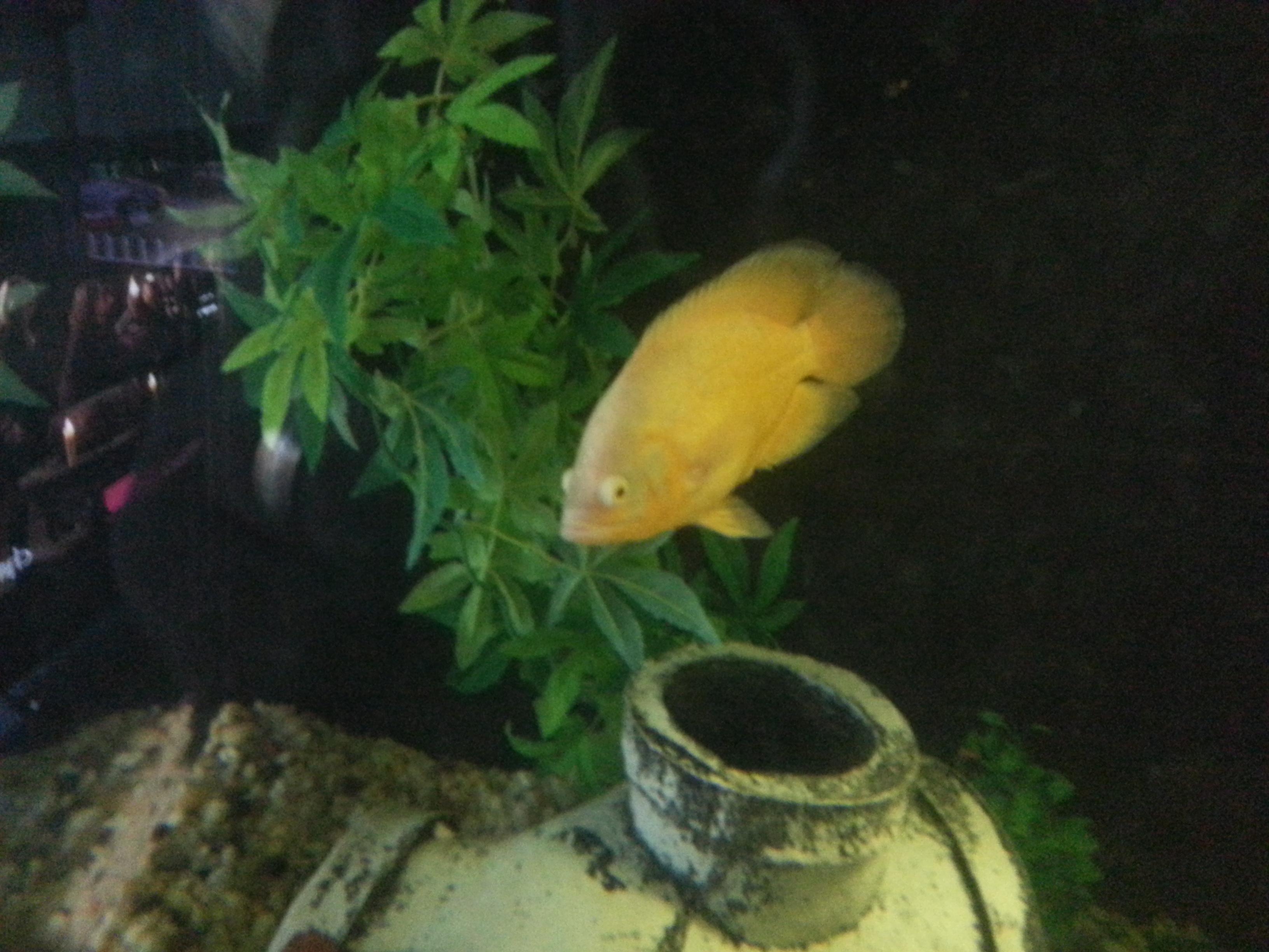 lemon oscar fish - photo #14