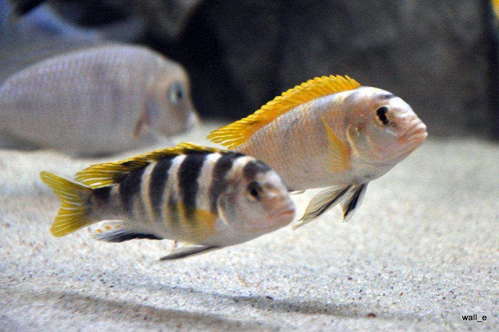 cichlids.com: Labidochromis Perlmutt