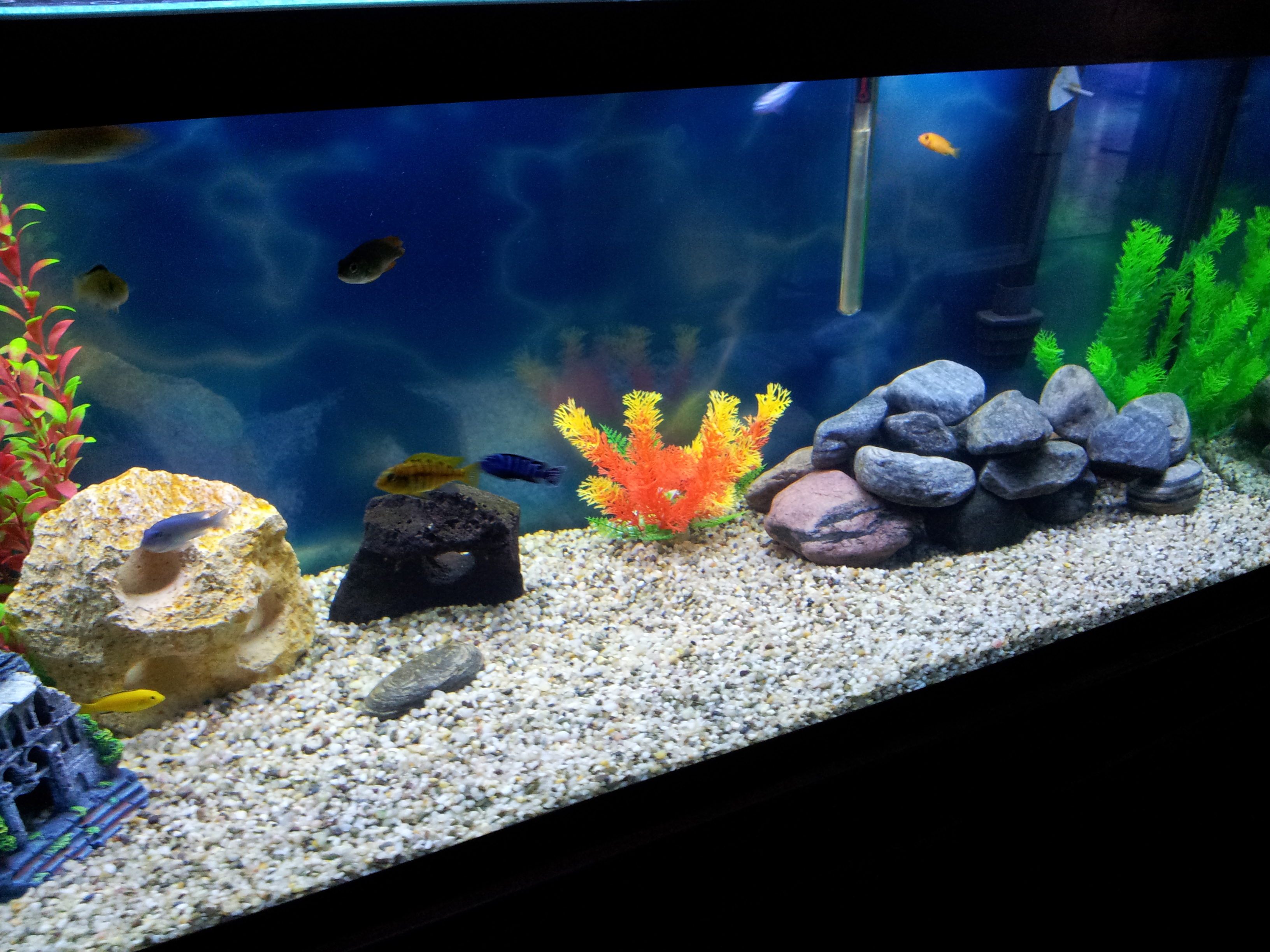 cichlids.com: Tank examples: 75g mixed african cichlid tank