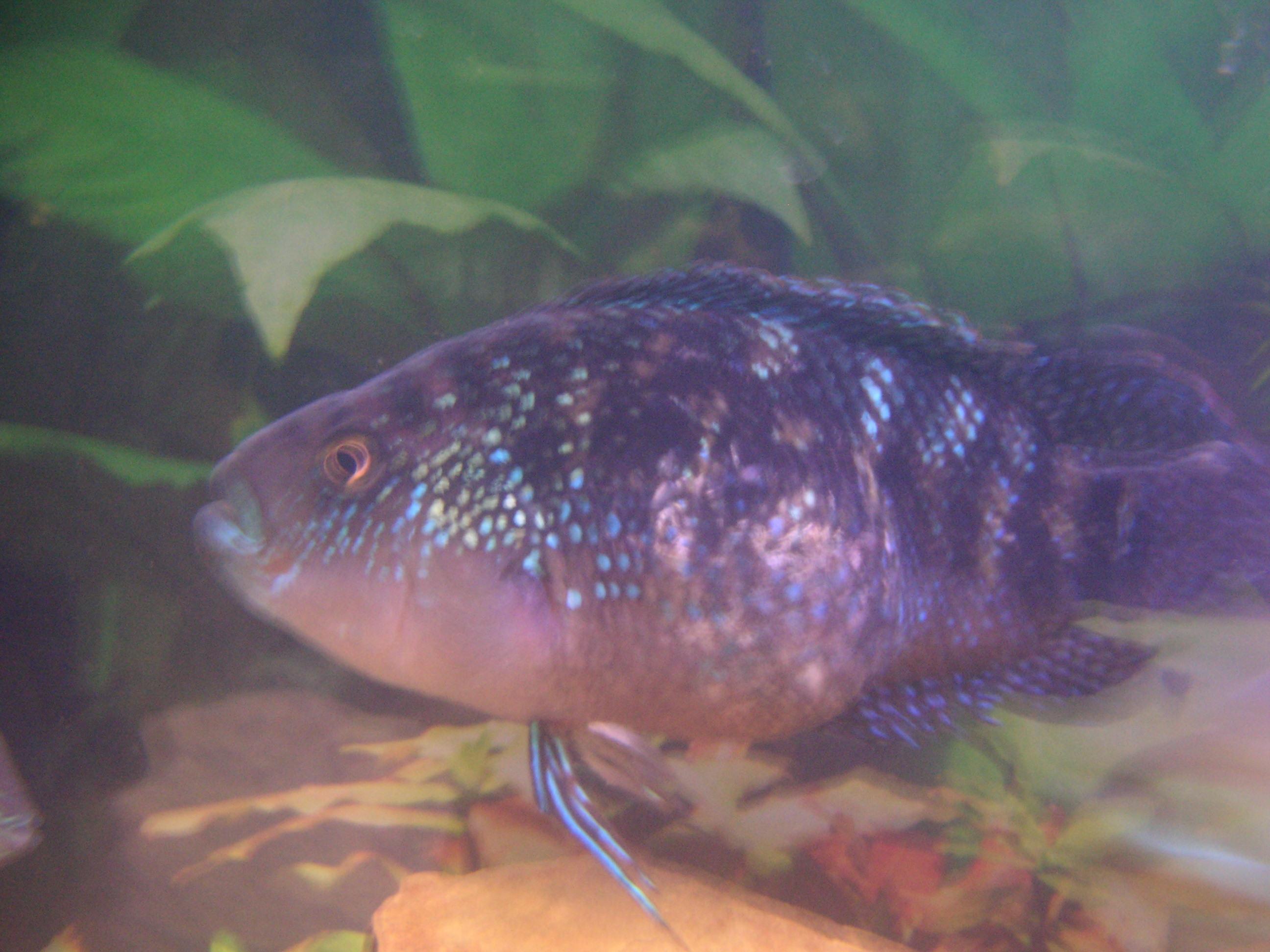 Sick jack dempsey help for Jack dempsy fish