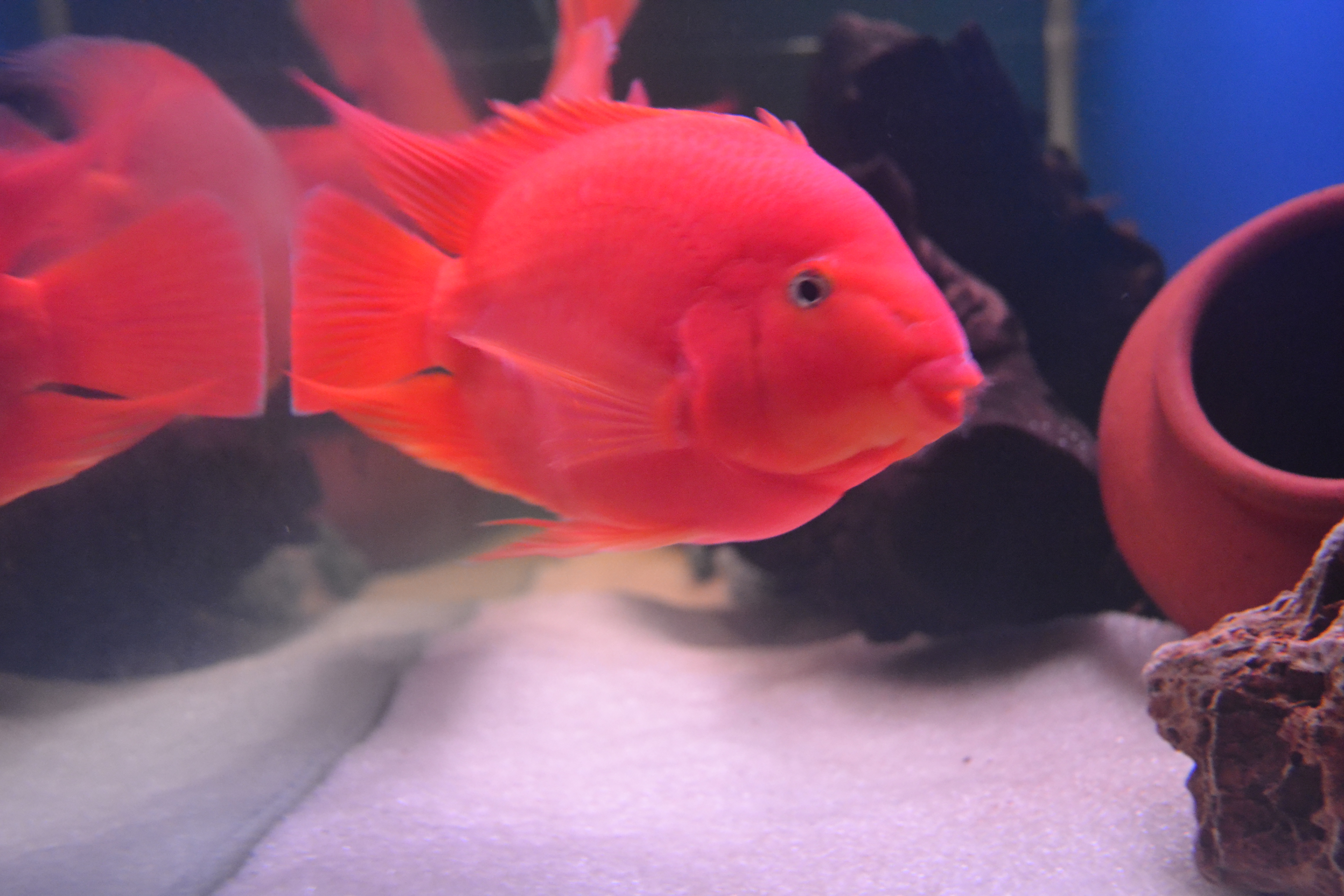 Female blood parrot fish for Blood parrot fish