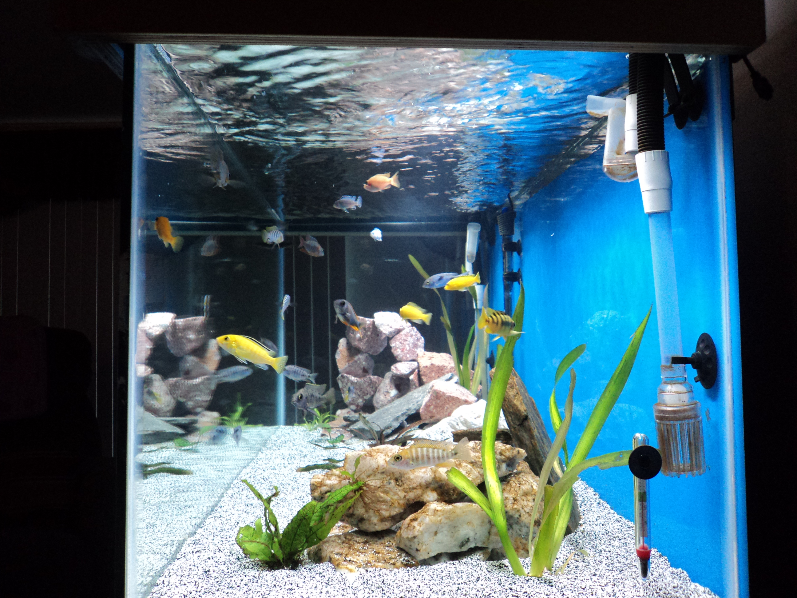 Tank examples wife 39 s birthday present for African cichlid tank decoration