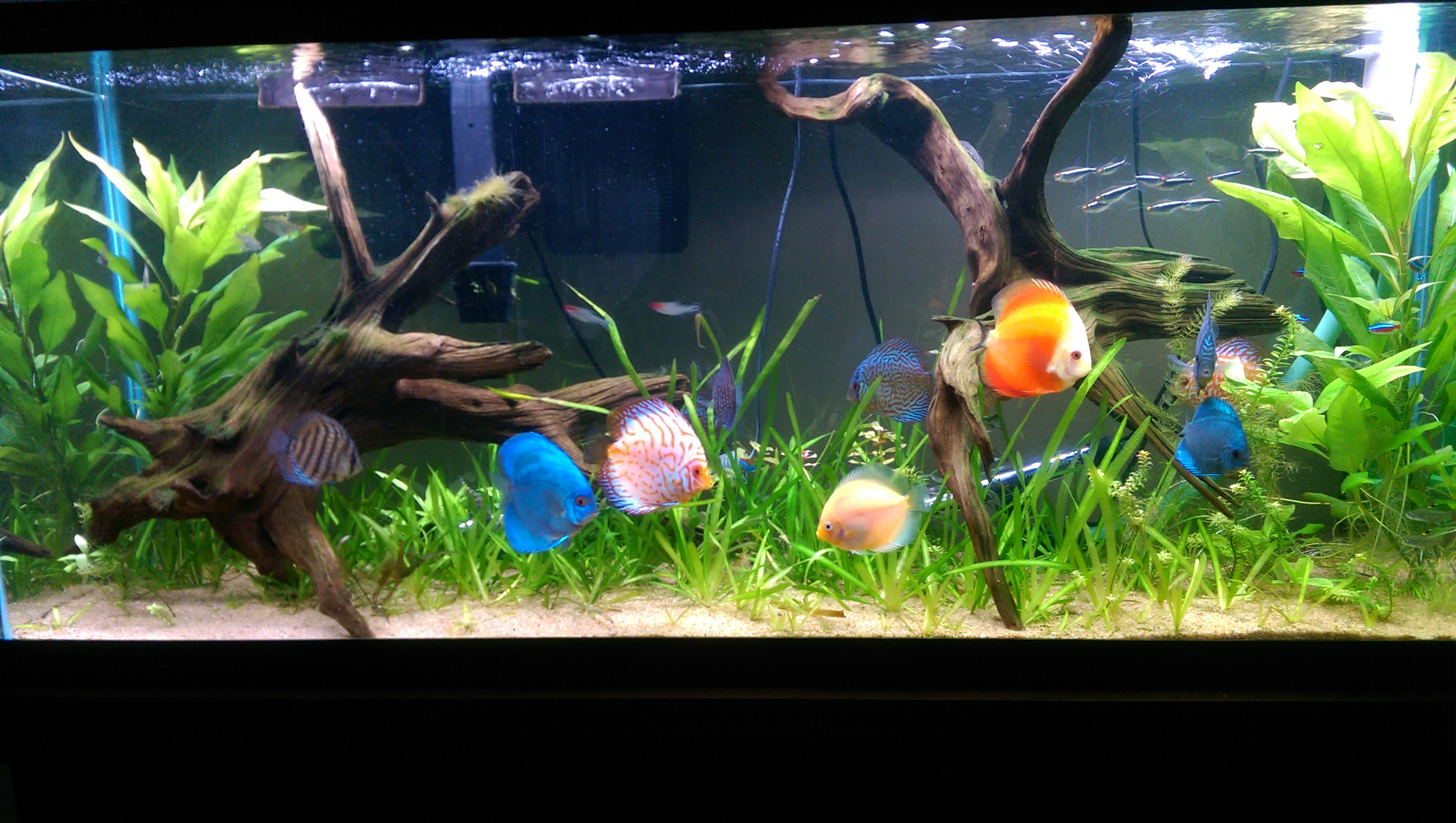 Discus fish 30 gallon tank nj 57 gallon discus tank 40 for Planted tank fish