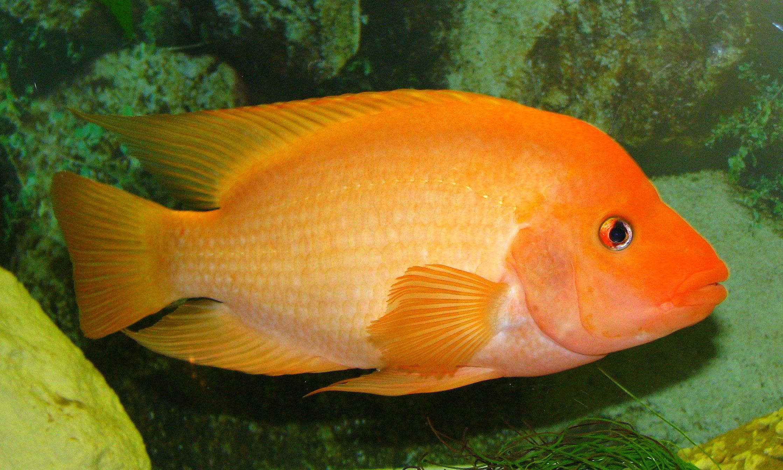 Red devil cichlid for Red devil fish