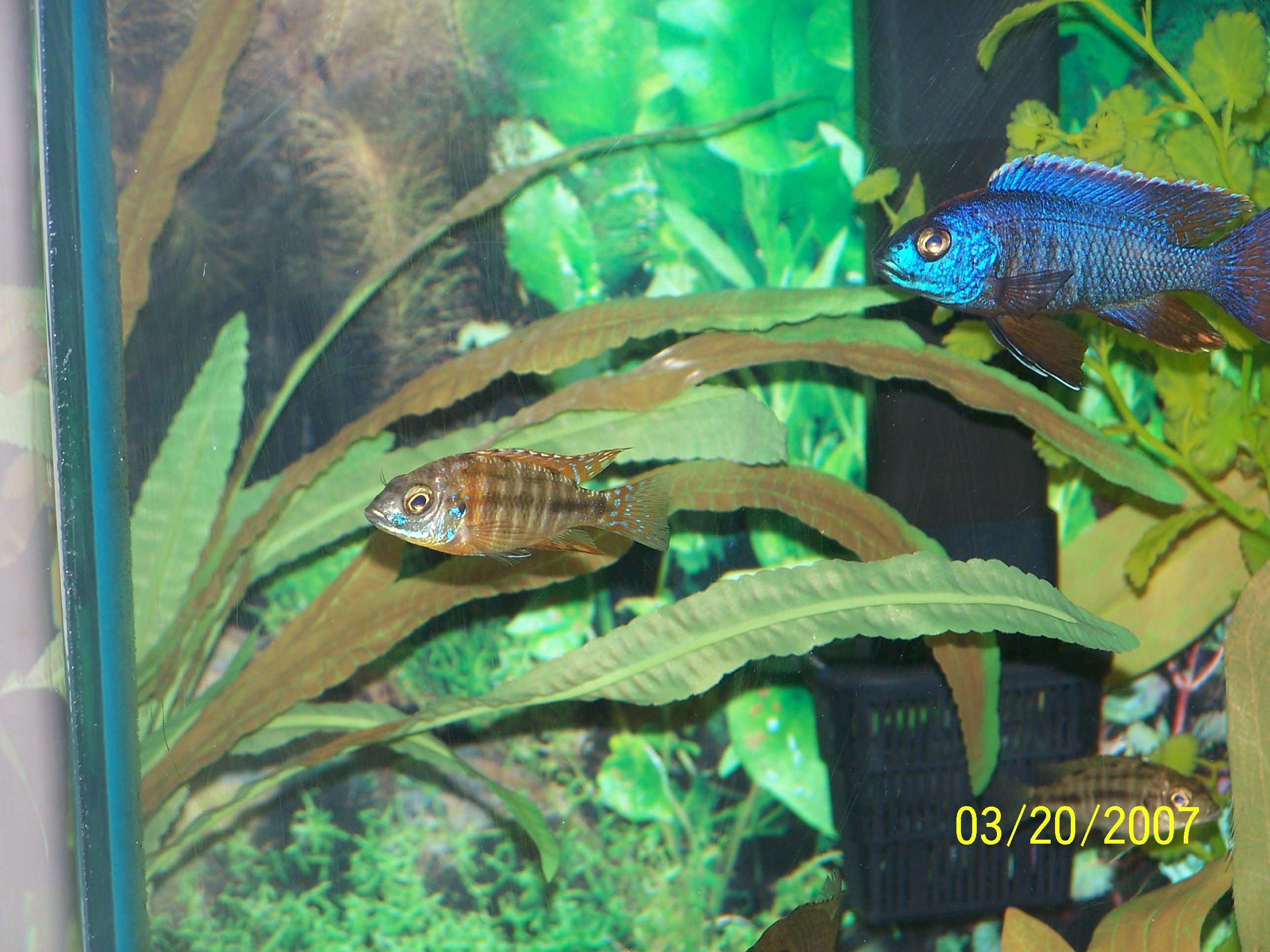 cichlids.com: orange sunshine peacock starting to color!