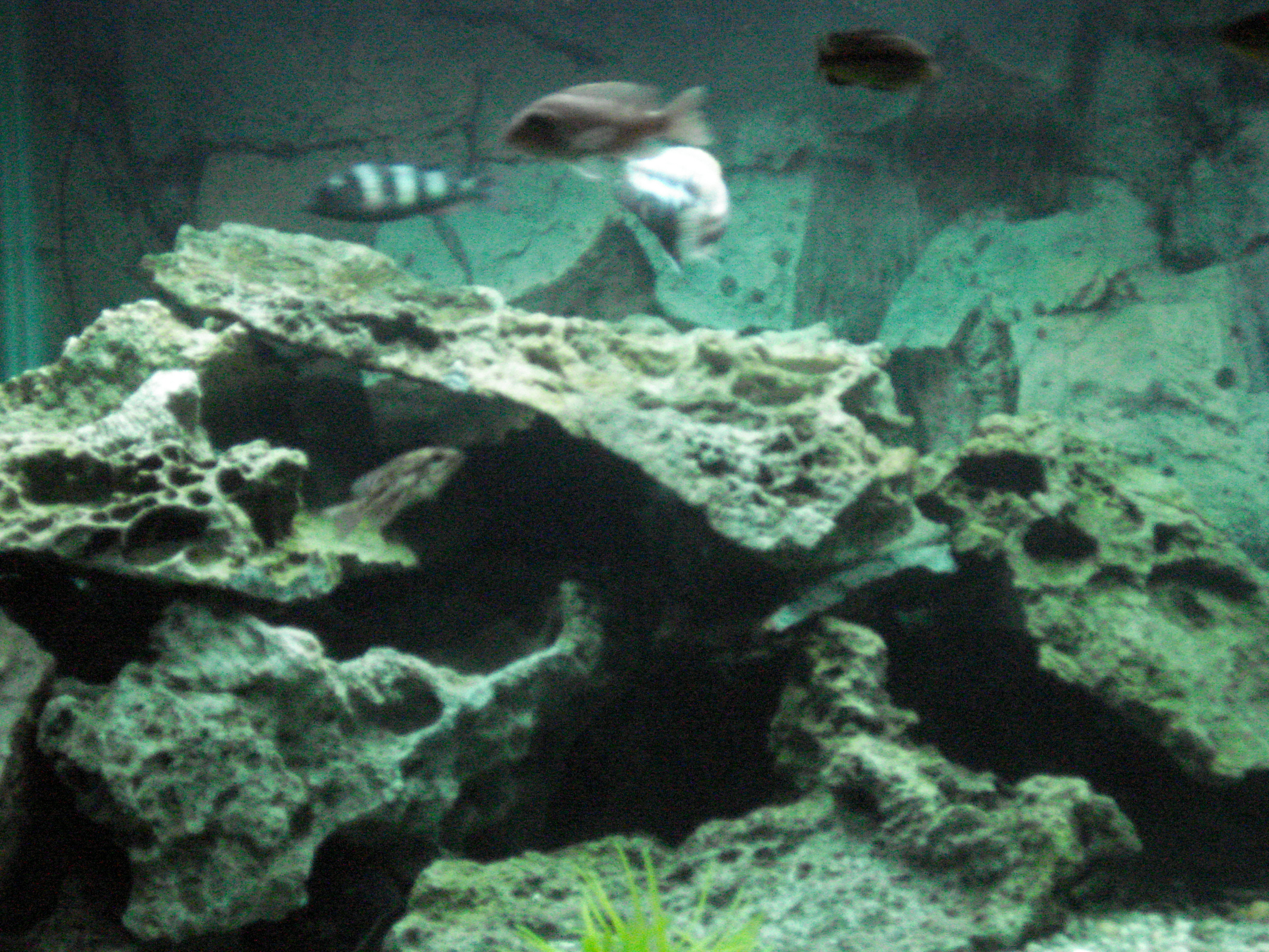 Tank examples lace rock caves for Fish tank caves