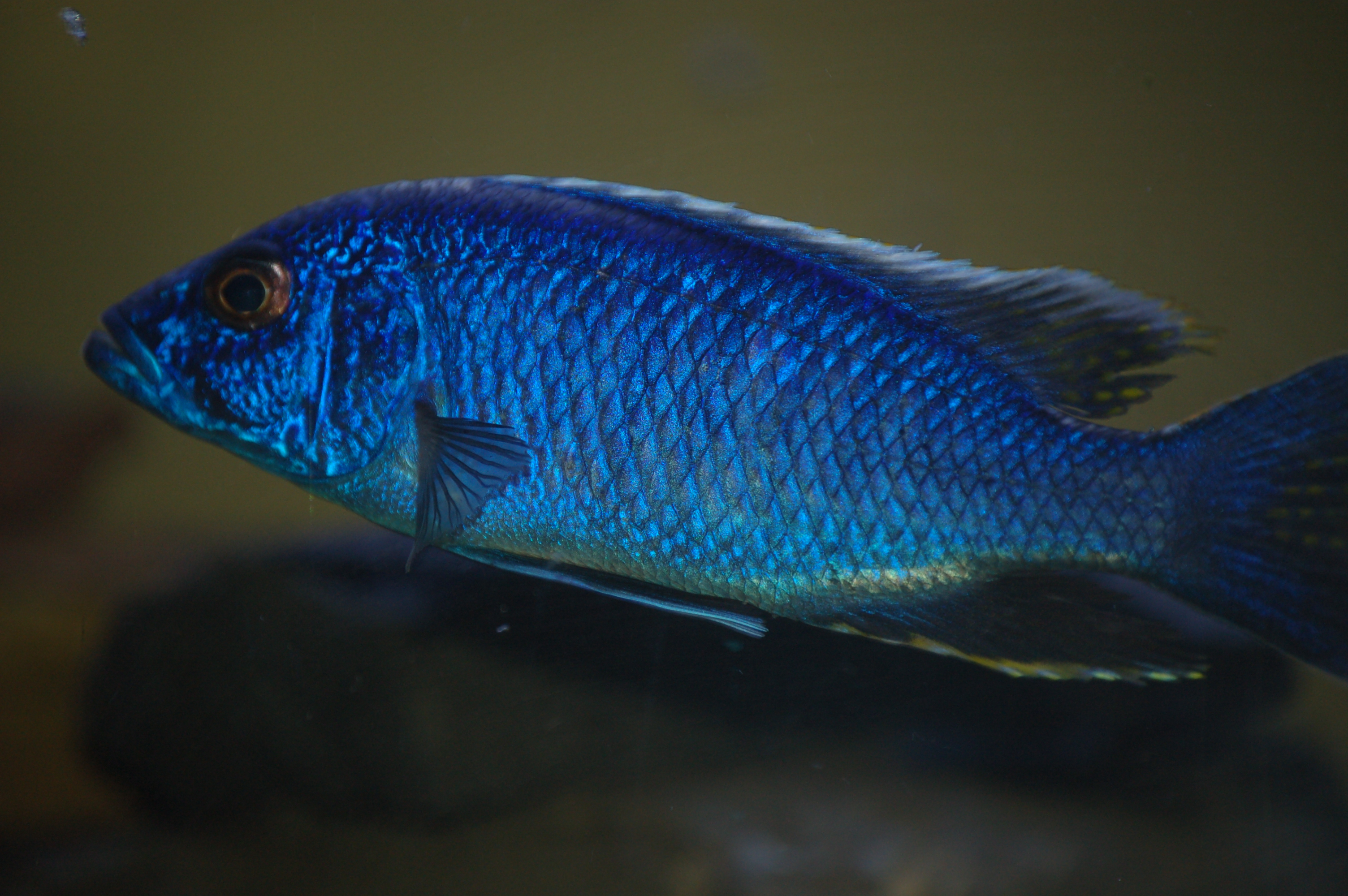cichlids.com: Electric Blue