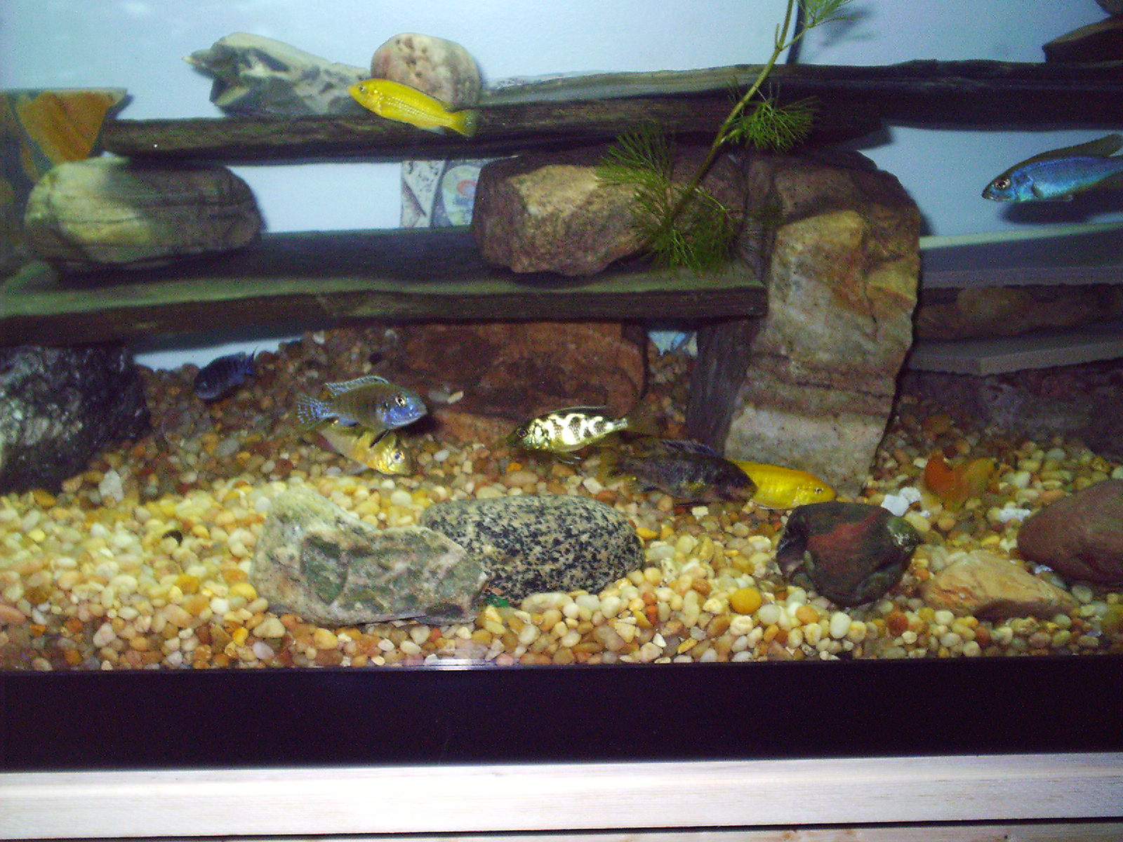 Tank examples african mix for African cichlid tank decoration
