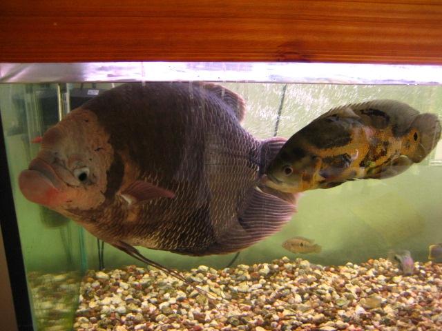 Oscar Fish Tank Setup 29332 Timehd