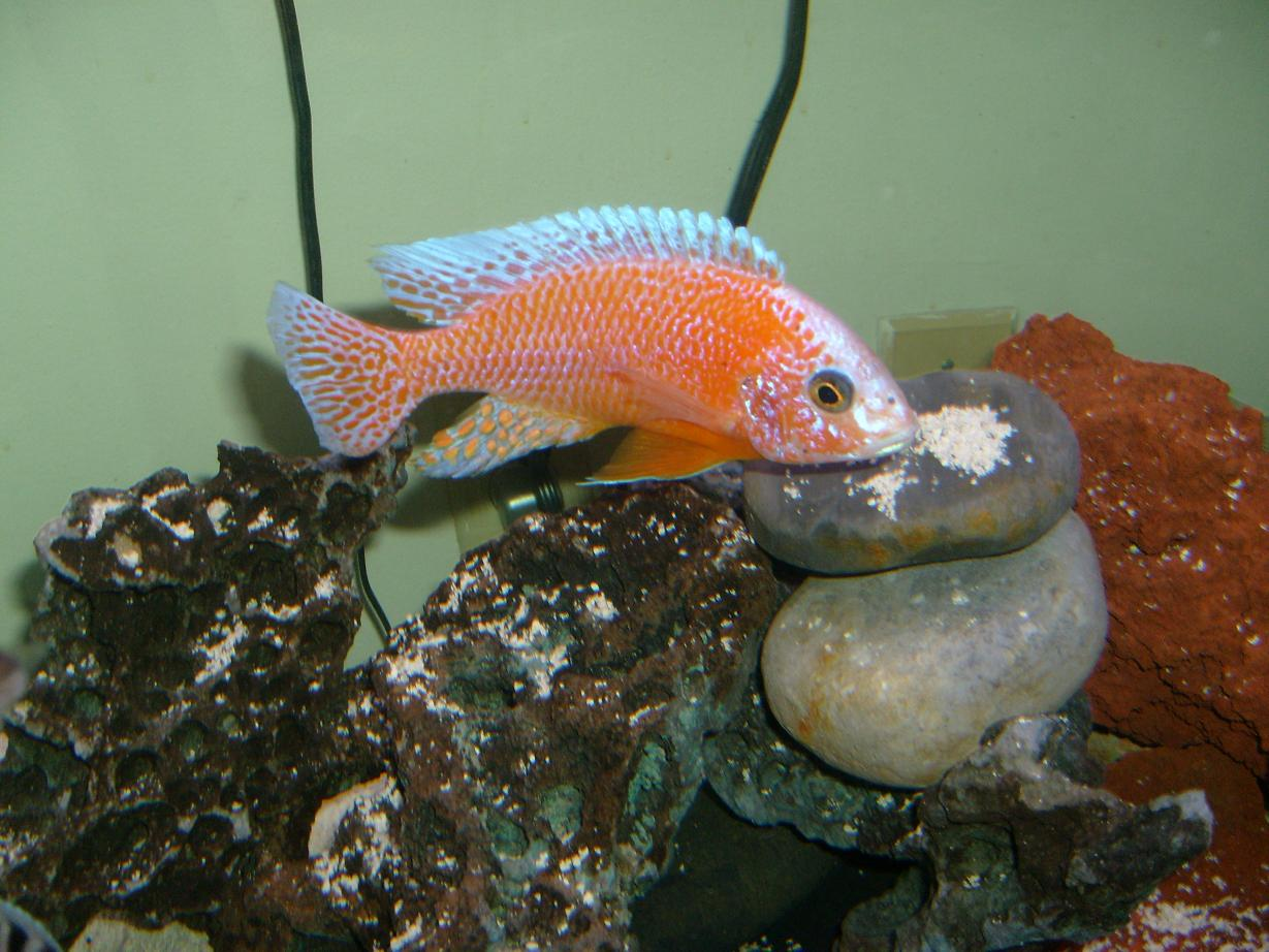 cichlids.com: strawberry peacock!