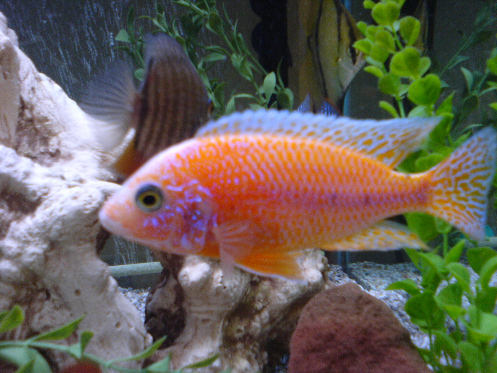 cichlids.com: so is this a strawberry peacock?