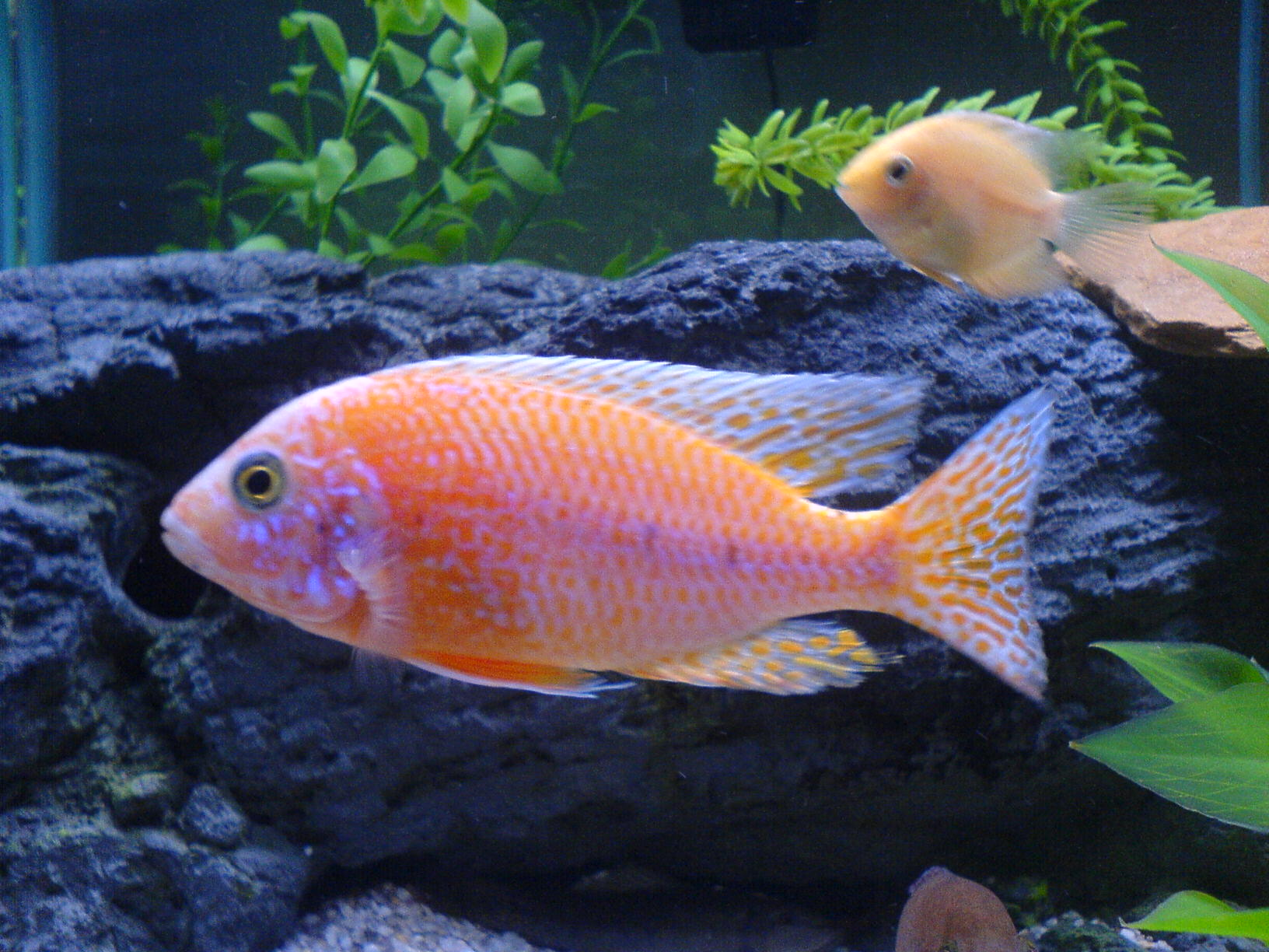 cichlids.com: RE: Proud Father ( strawberry peacock)! Him ...
