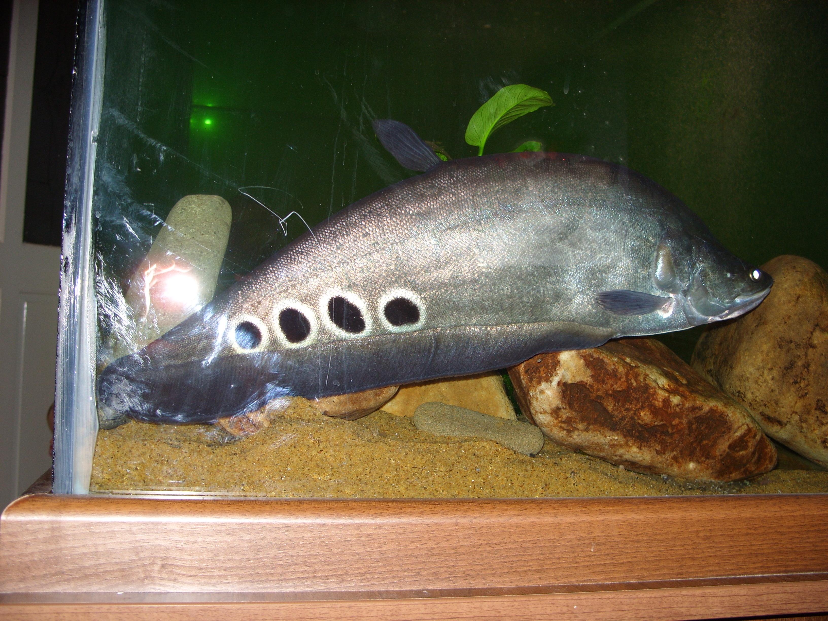 clown knife fish again