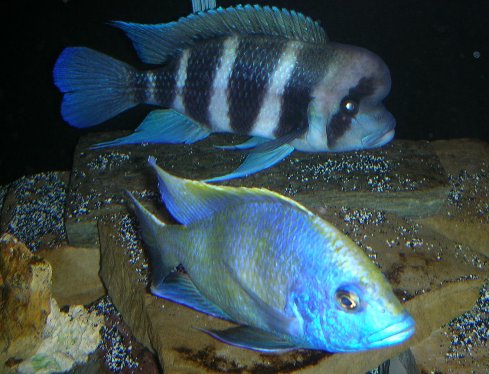 cichlids.com: Frontosa & Venustus