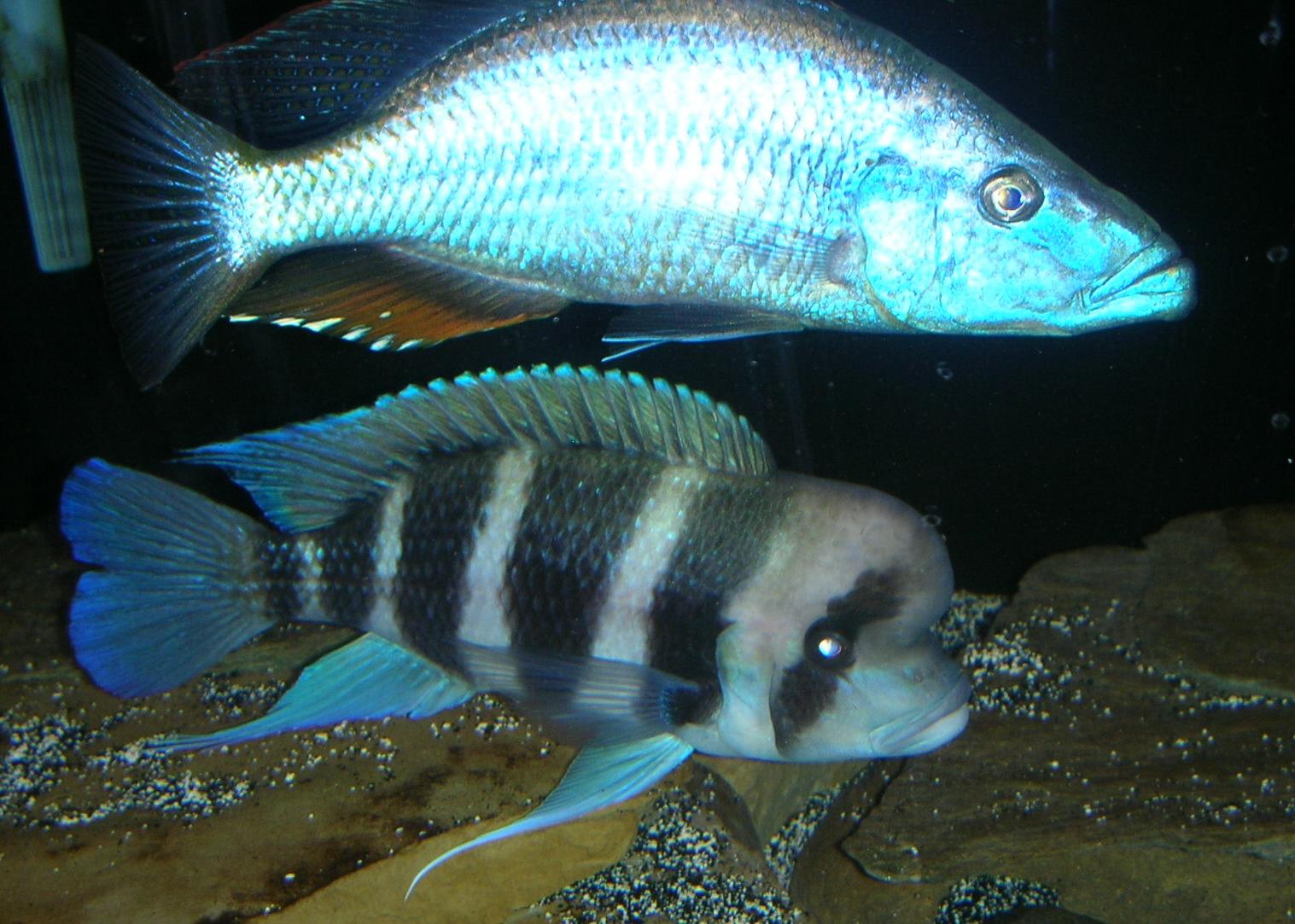 cichlids.com: Malawi Eye Biter & Frontosa