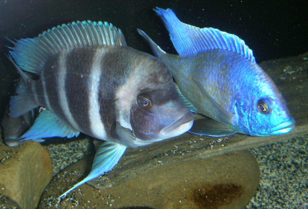 cichlids.com: Frontosa and Venustus