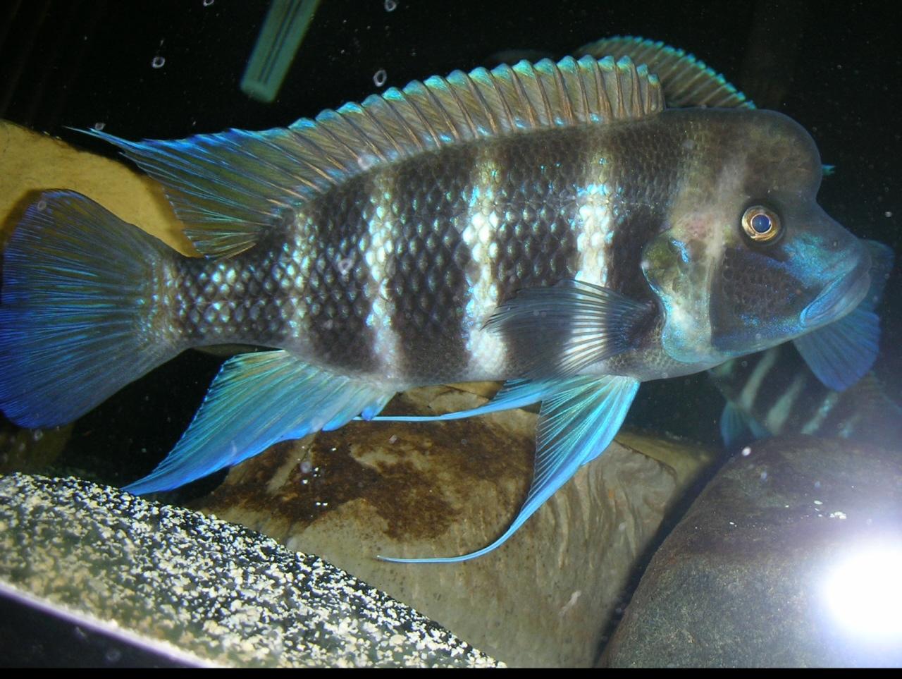 cichlids.com: 7-stripe frontosa