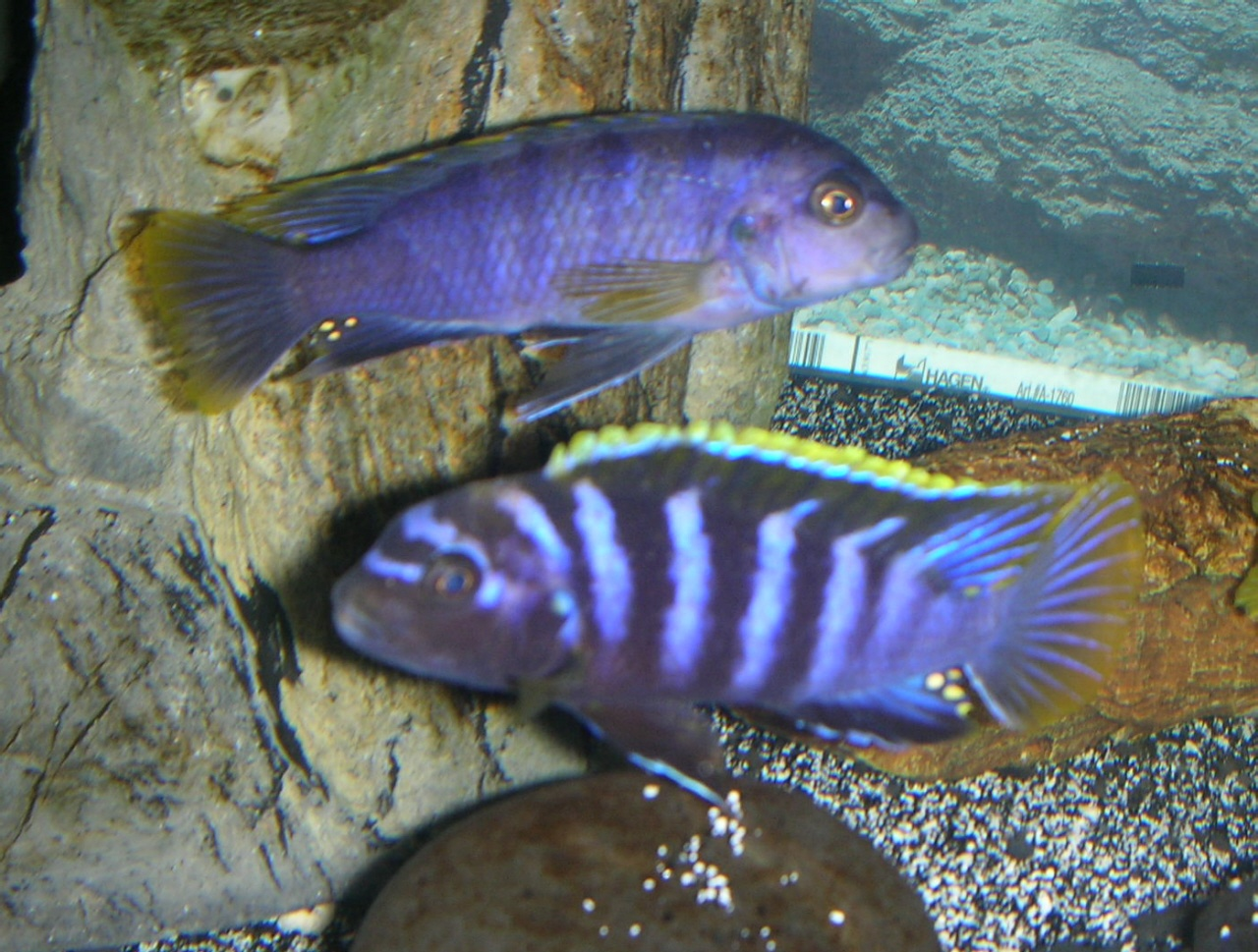 cichlids.com: Yellow-top mbambas (two males)