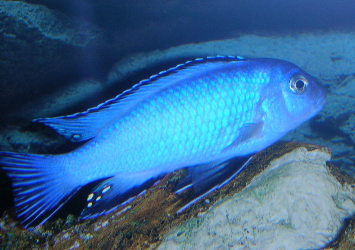 cichlids.com: Pseudotropheus socolofi (male)