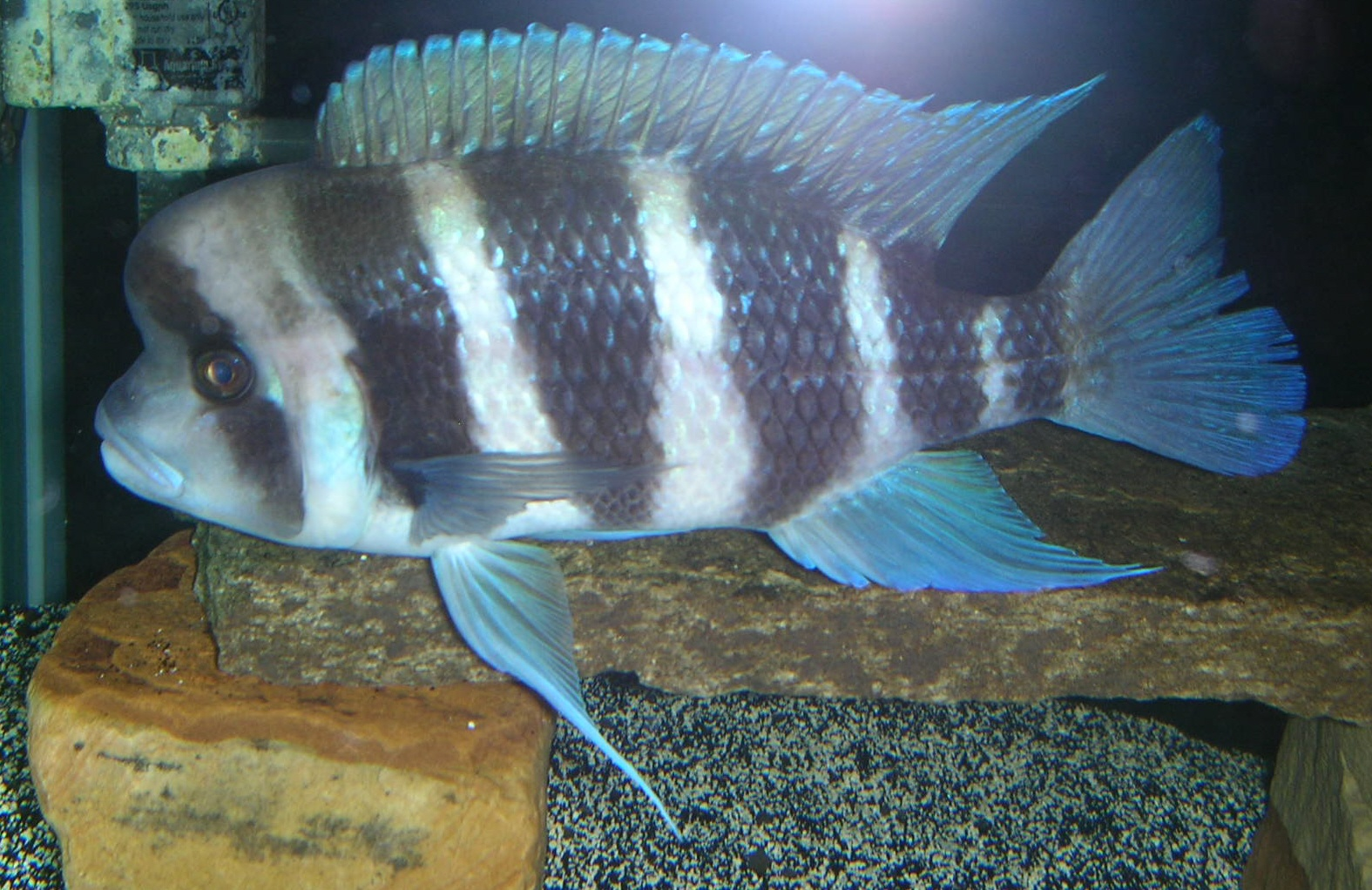 cichlids.com: Frontosa (Burundi variant)