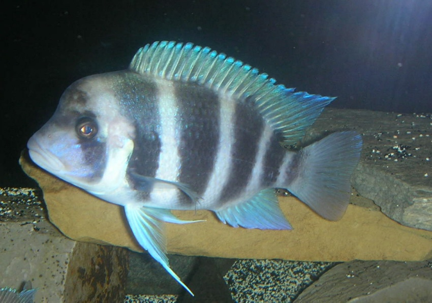 Baby Frontosa Cichlid cichlids.com: Frontosa