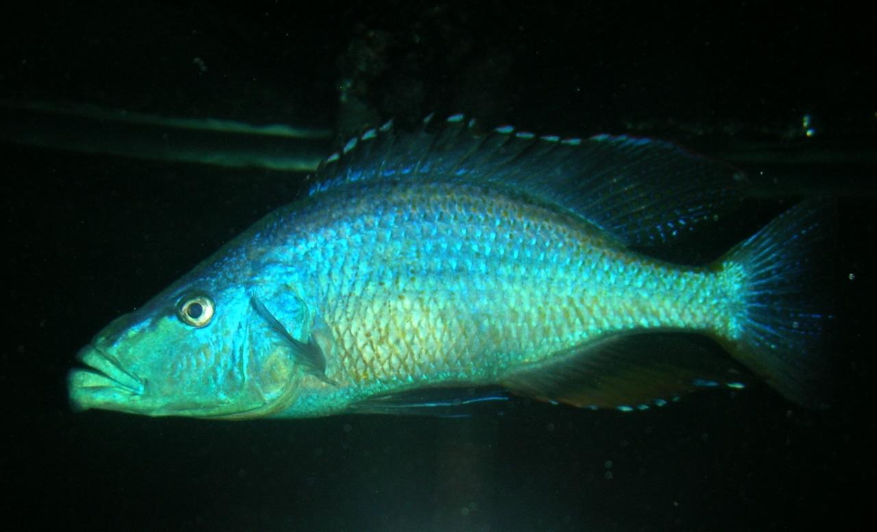 cichlids.com: Male Dimidiochromis compressiceps