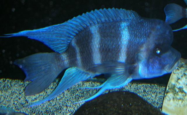 cichlids.com: Frontosa (Mpimbwe)