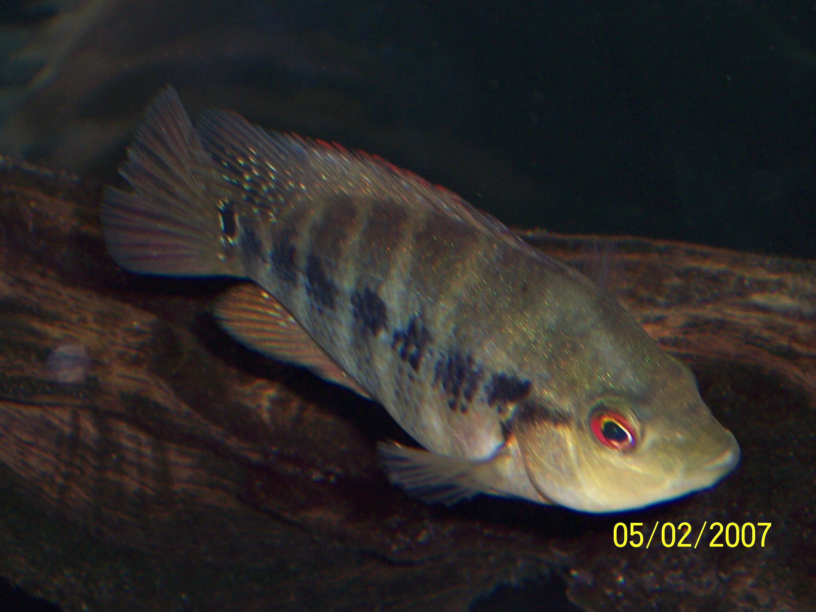Amphilophus – Wikipedia