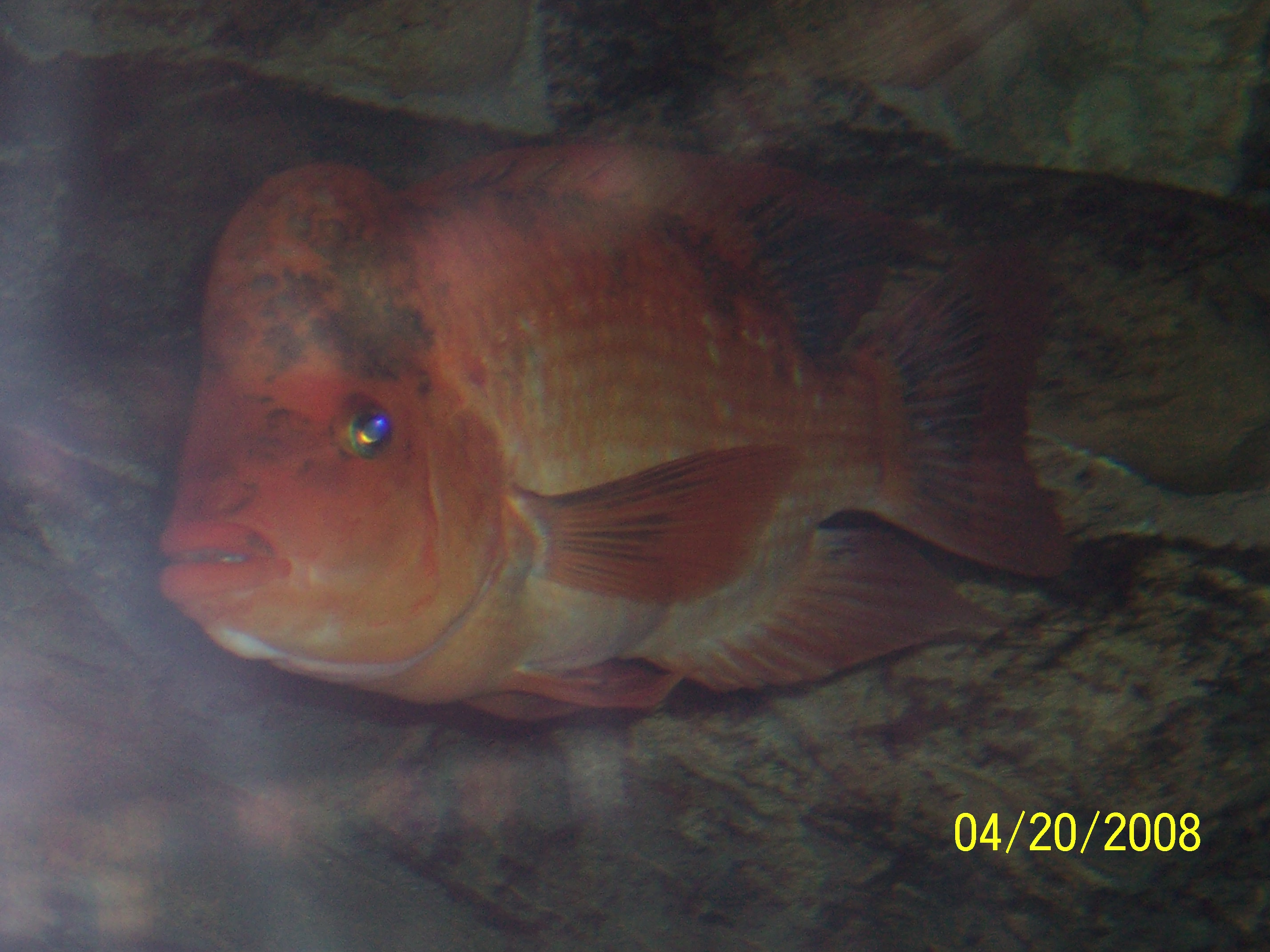 Red devil not my fish for Red devil fish