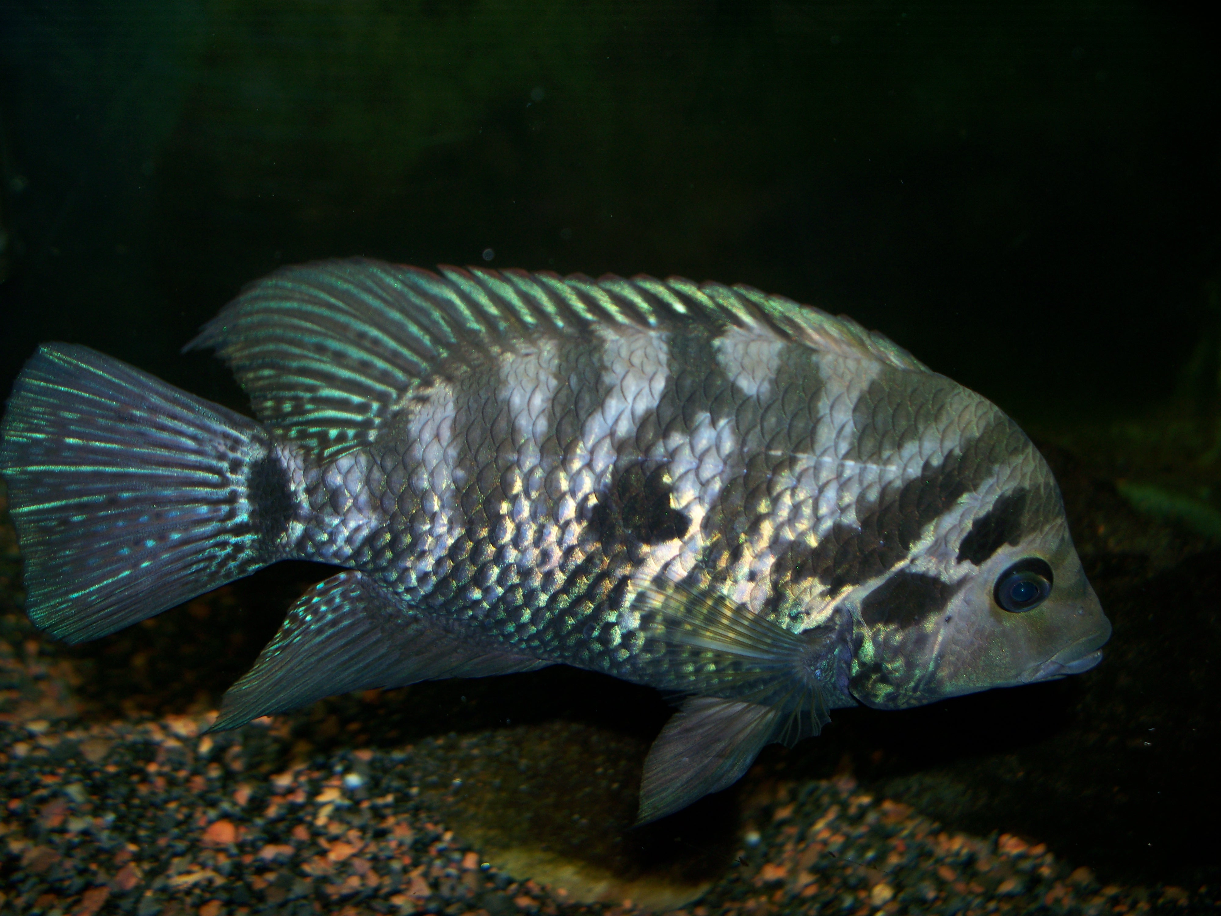 Oscar tank 10 furthermore 301373 Could John Mcenroe Be Prince Harry S Real Father further Red Tiger Oscar 1 additionally Tangerine Tiger 41 in addition African Cichlid Tank Driftwood. on oscar cichlid forum