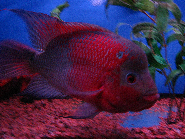 Flowerhorn for Flower horn fish