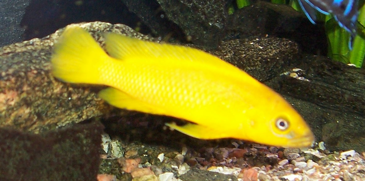 Leleupi : cichlids.com: Neolamprologus leleupi large male