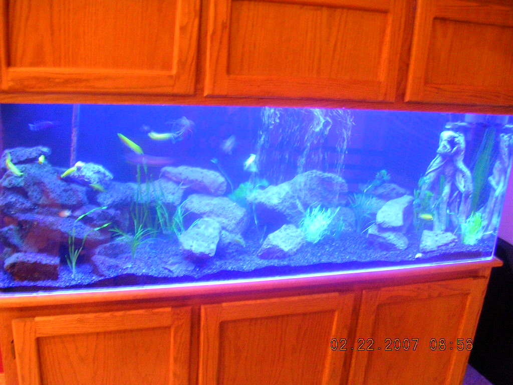 Tank examples african for African cichlid tank decoration