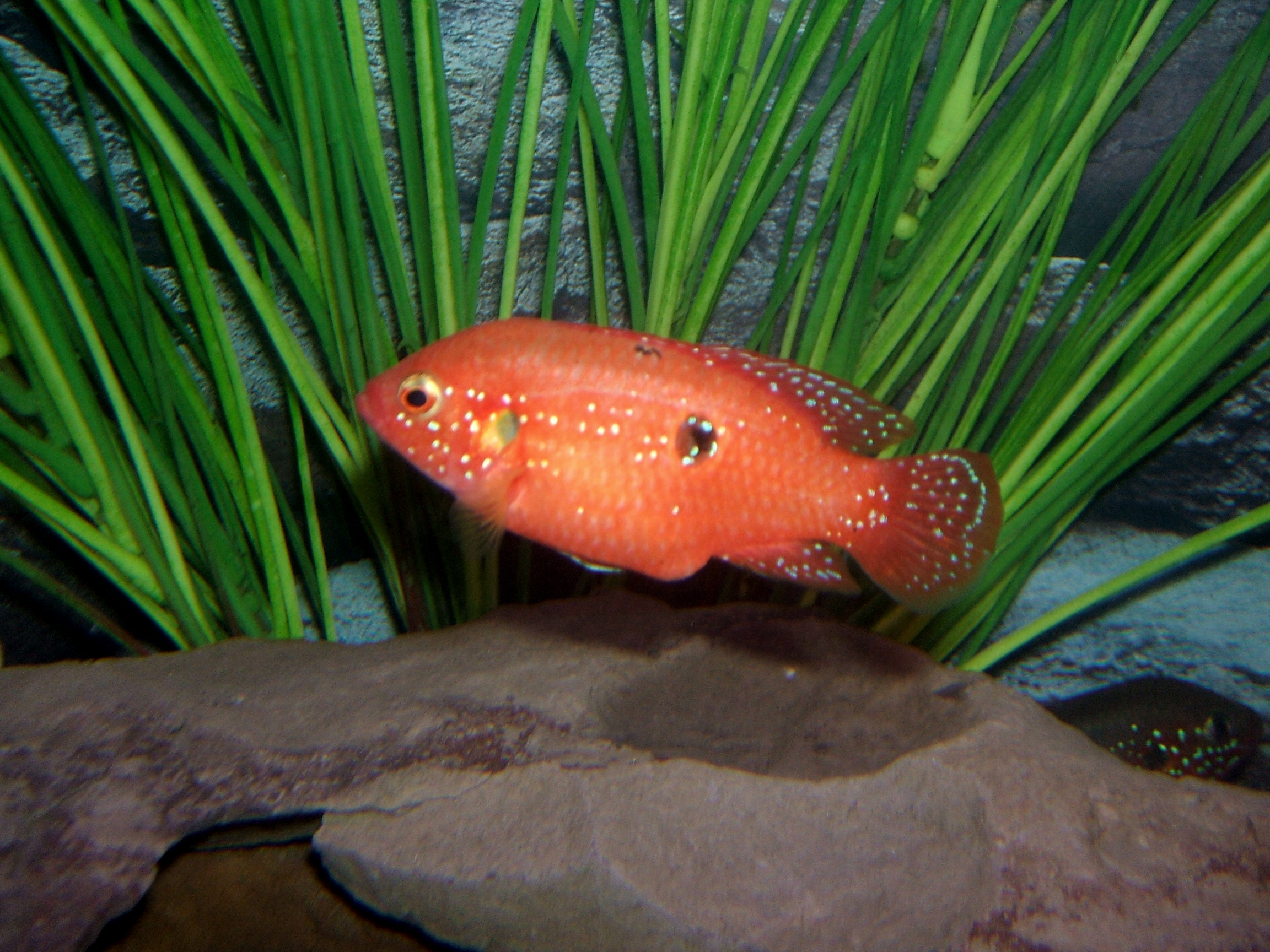 cichlids.com: for Sarah Kaper