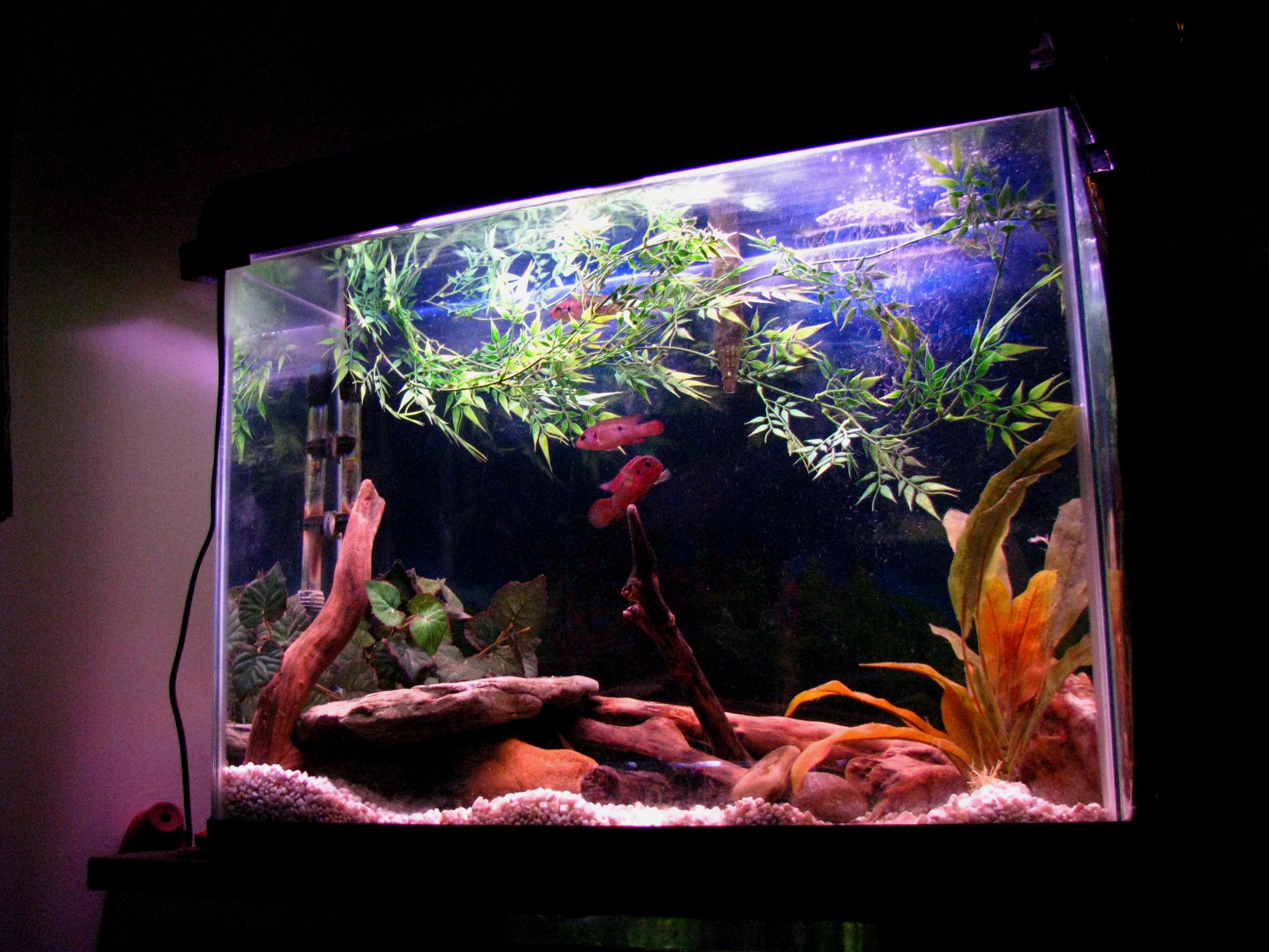 Freshwater jewel fish - Jewel Cichlid Species Tank
