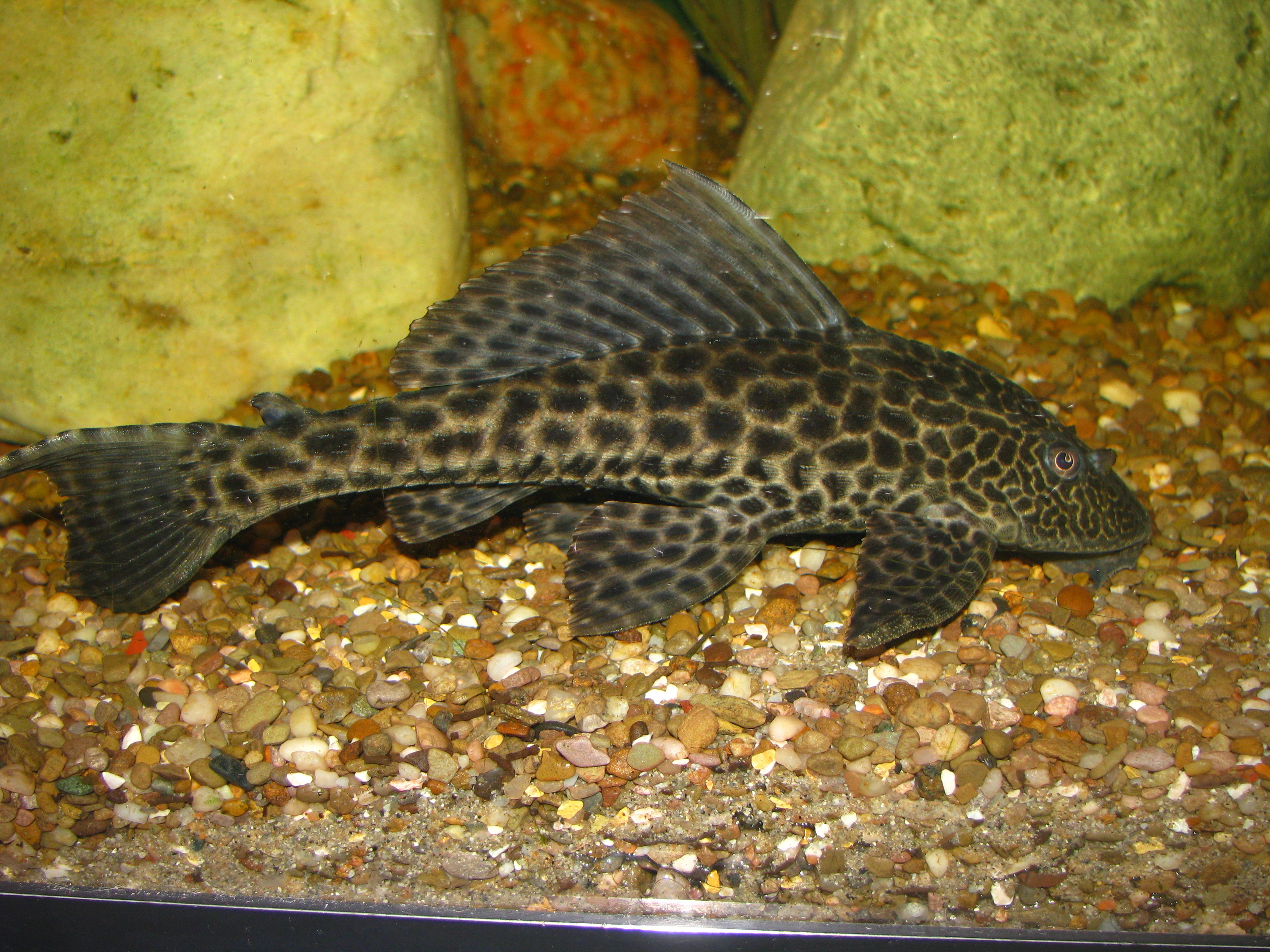 Pictures pleco fish for sale l 046 zebra pleco for Pleco fish for sale