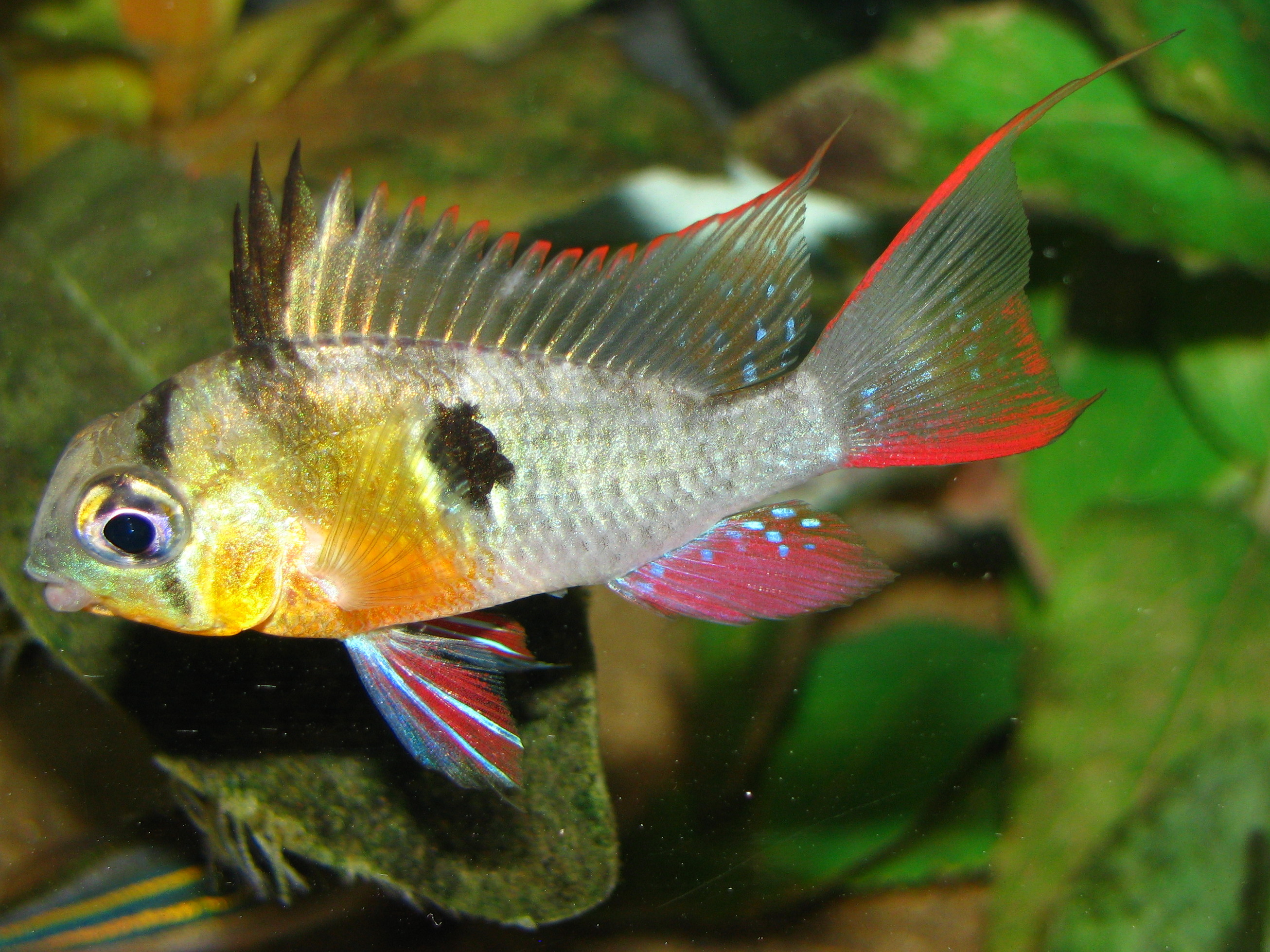 Cichlids Com Bolivian Ram