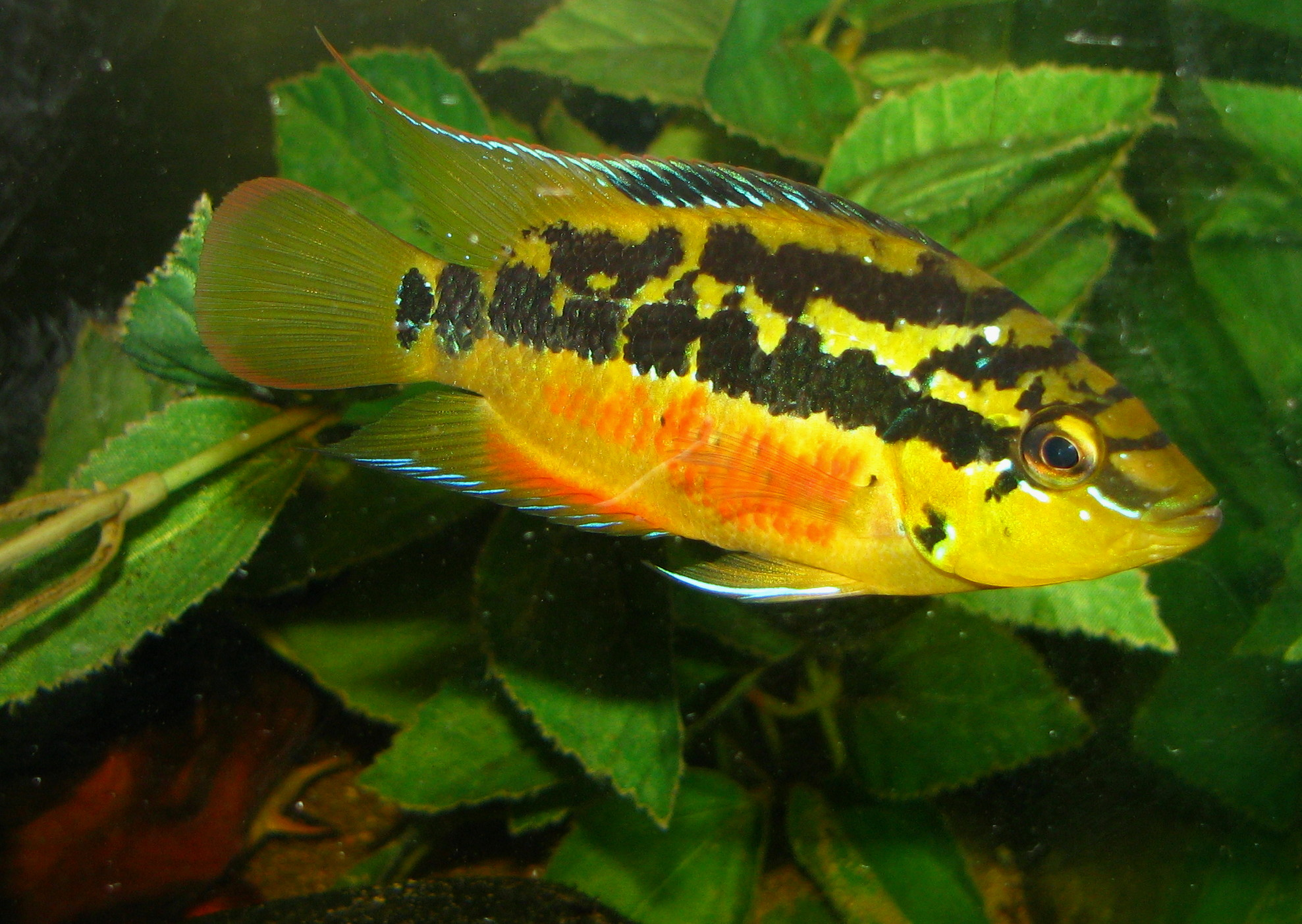 cichlids.com: salvini