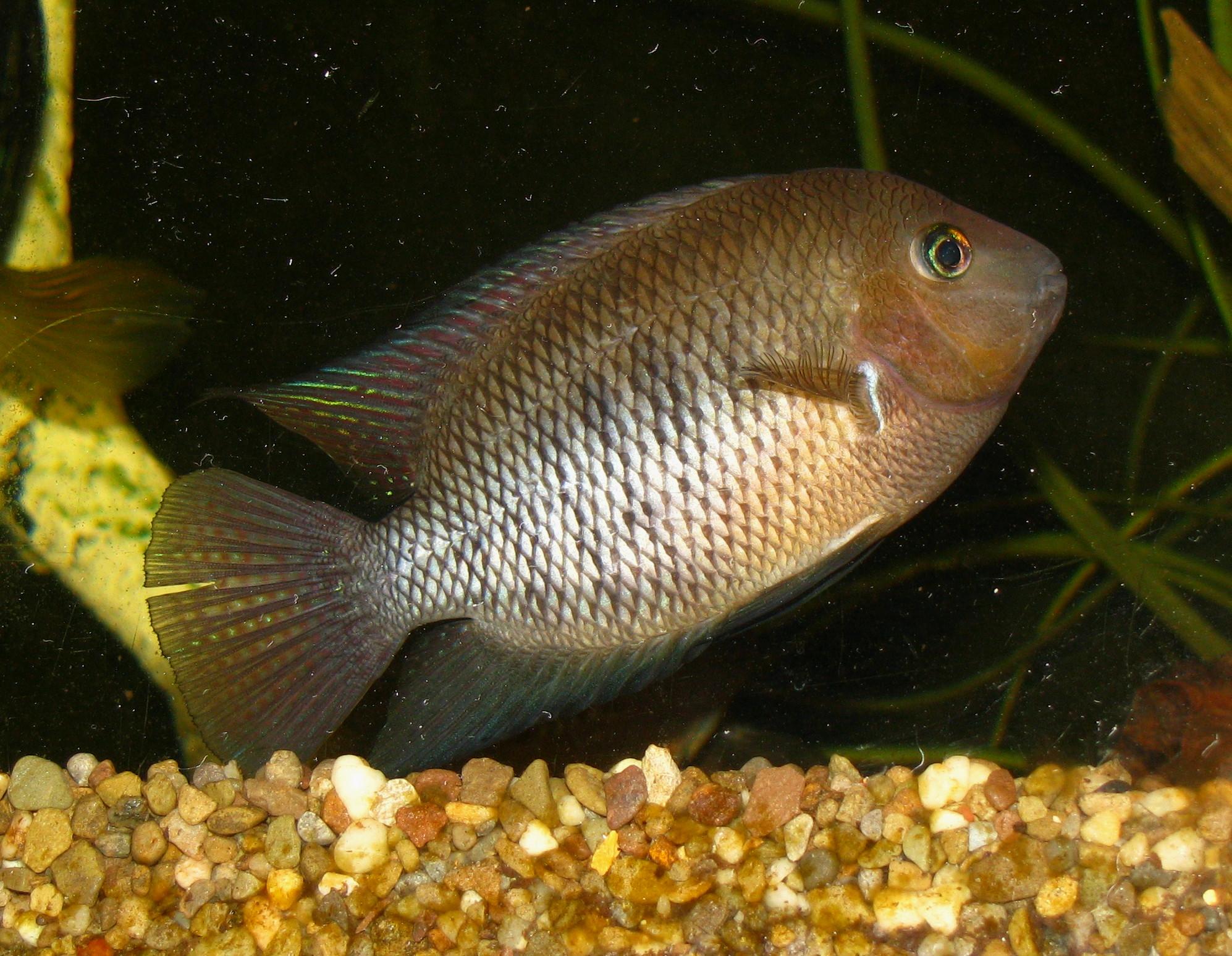 cichlids.com: blue eyed cichlid