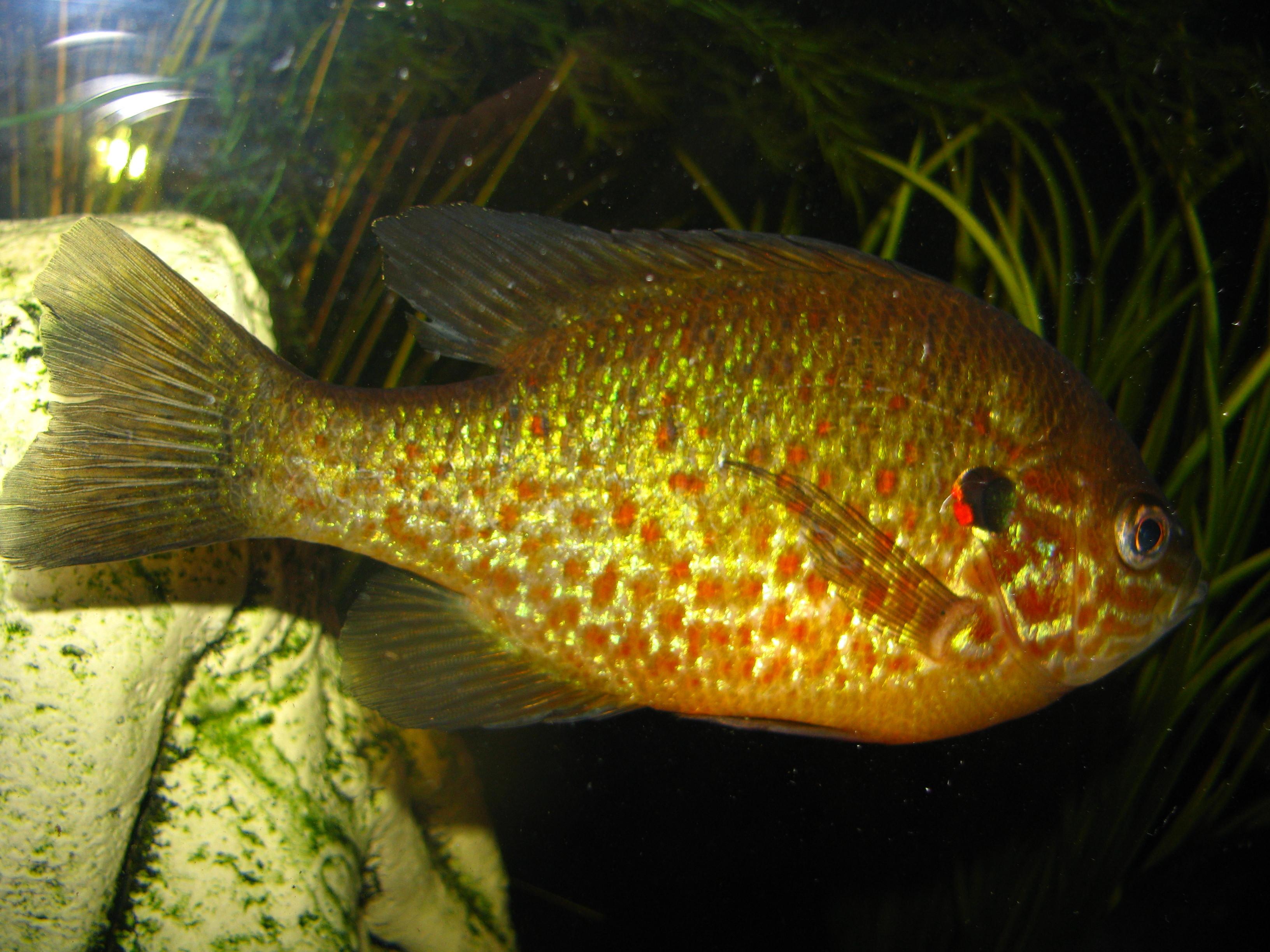 Pumpkinseed : cichlids.com: pumpkinseed sunfish