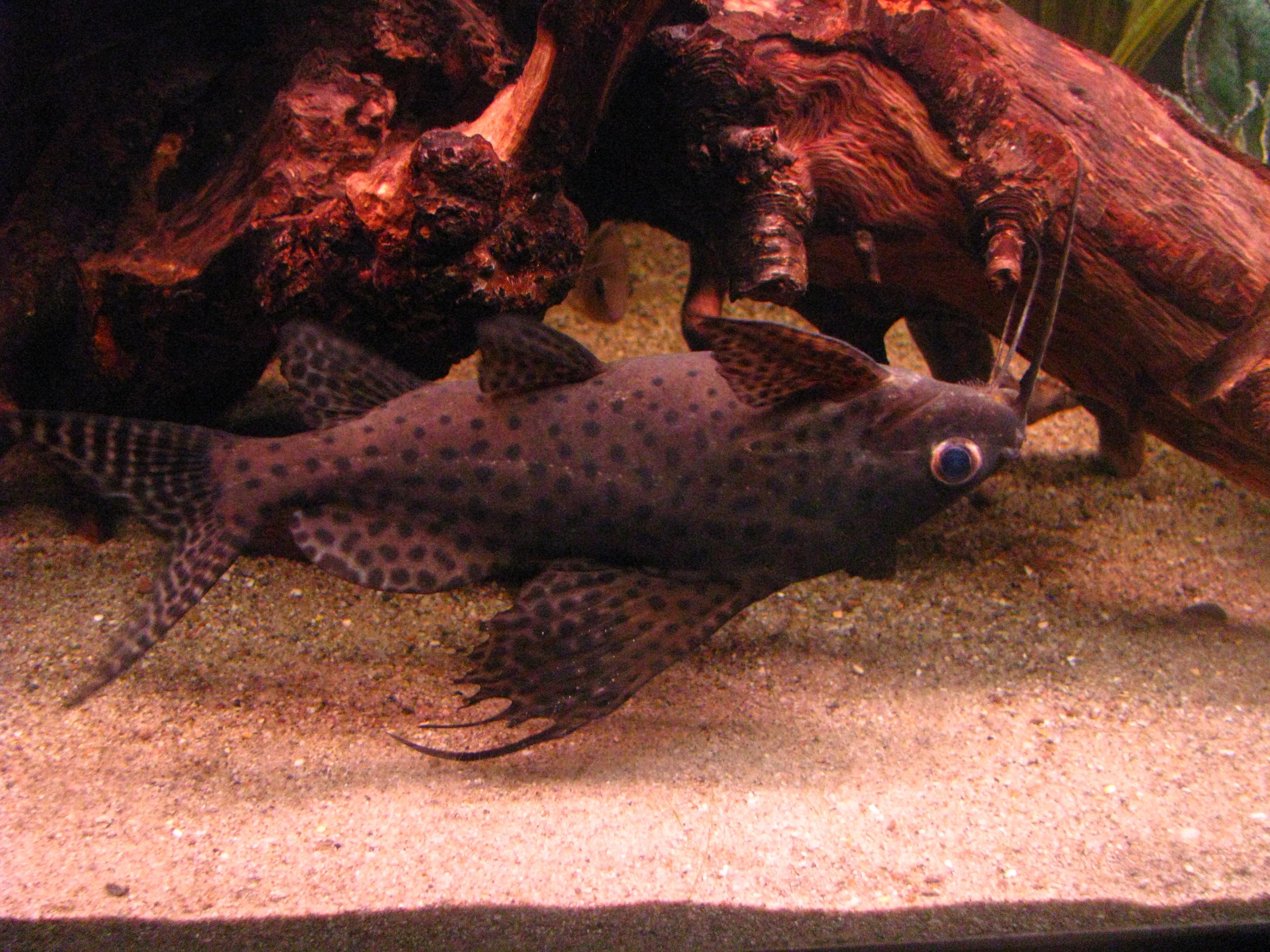Upside-Down Catfish : cichlids.com: upside down catfish