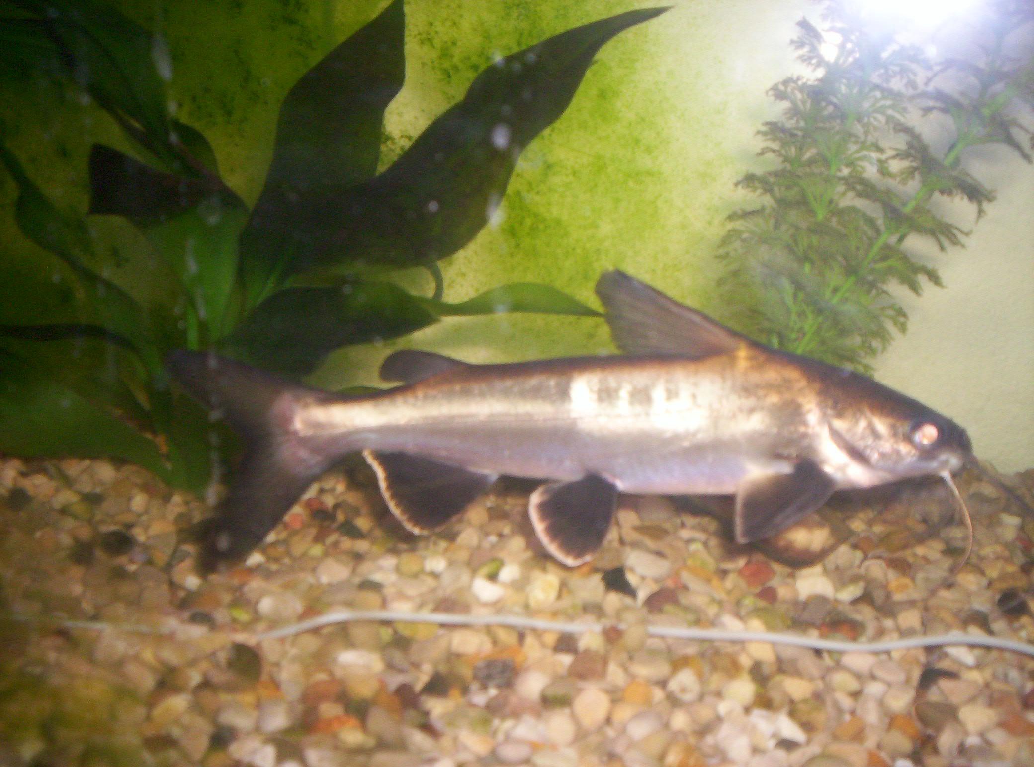 cichlids.com: Columbian Black Tipped Shark (catfish)
