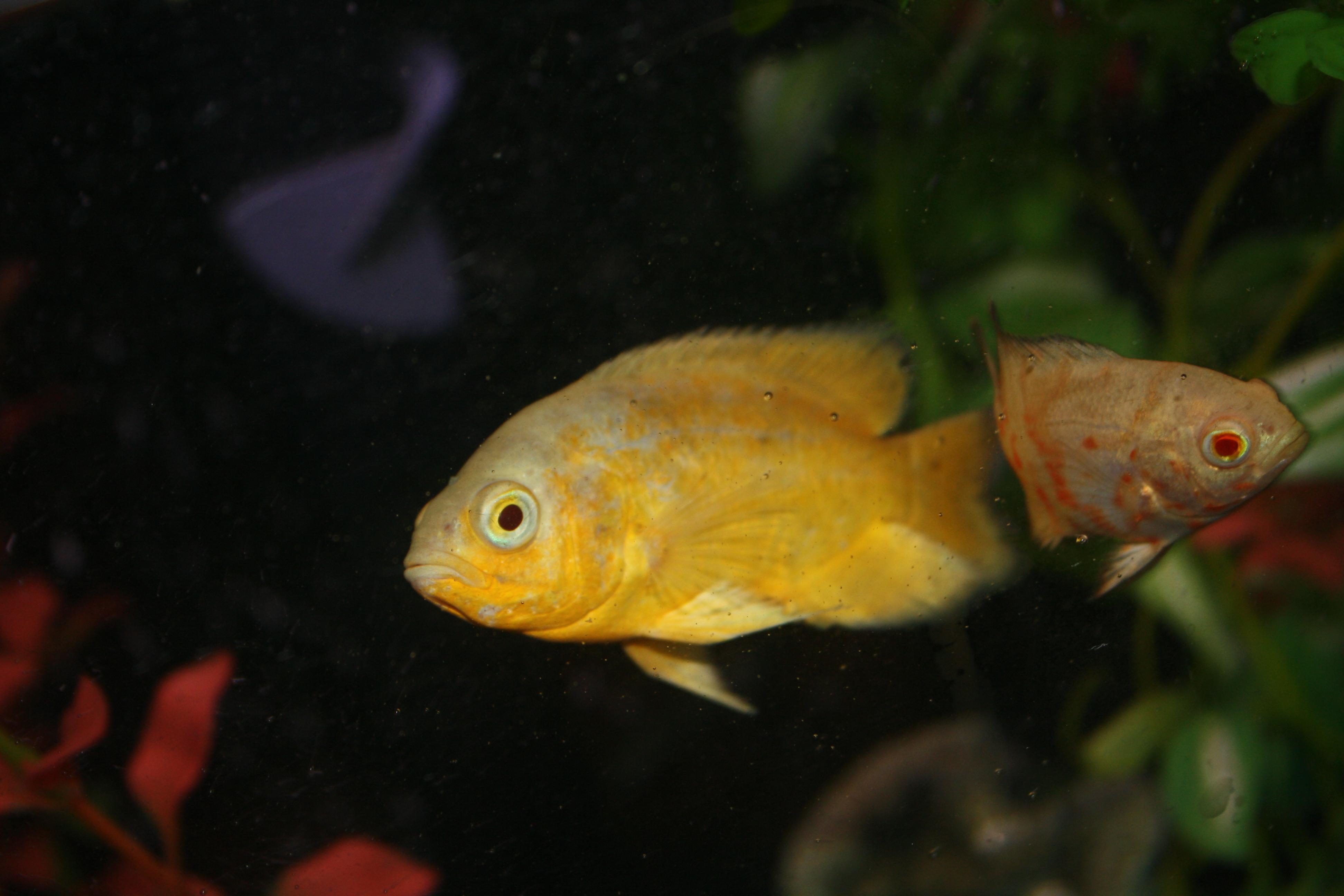 lemon oscar fish - photo #8