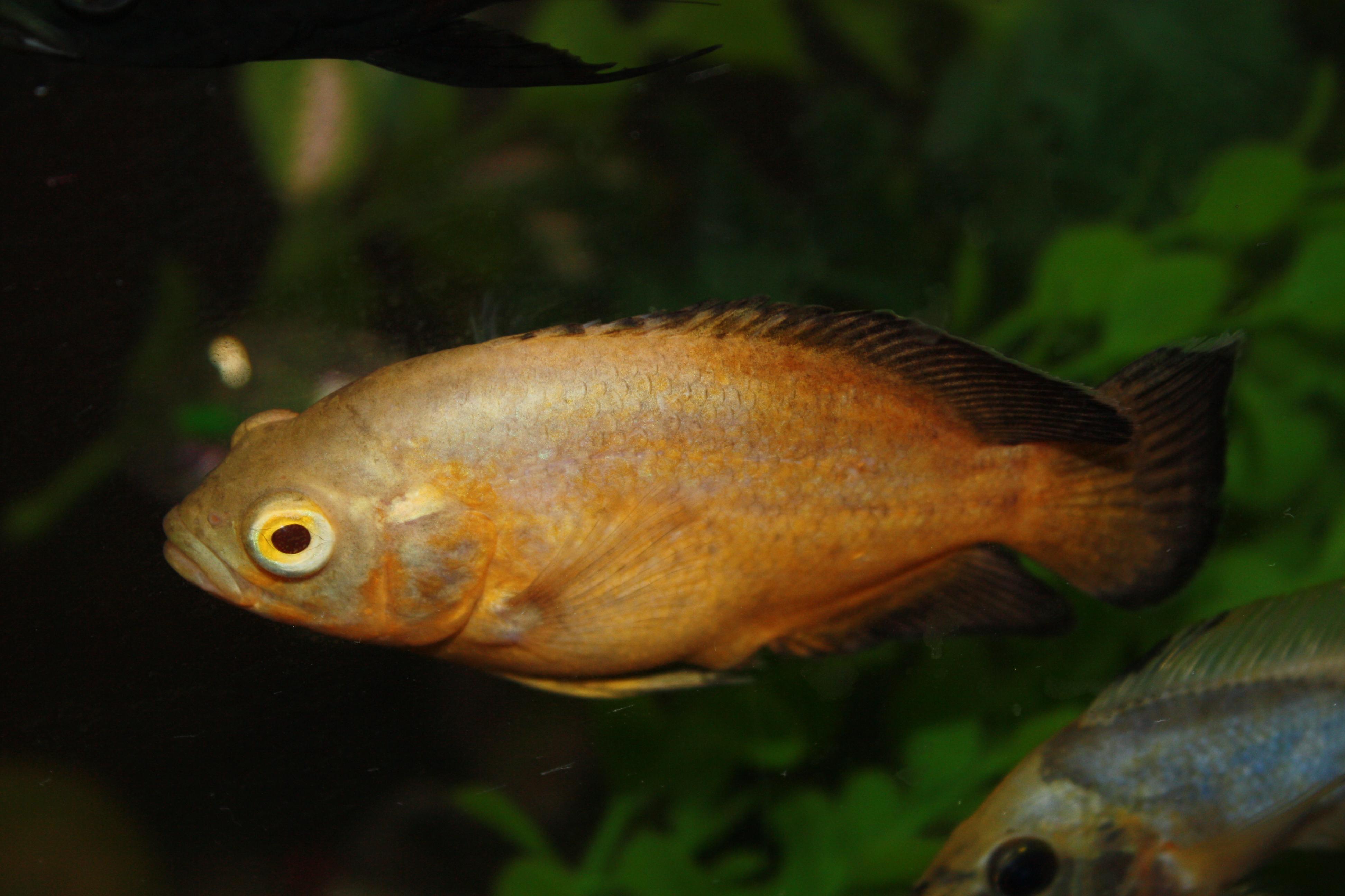 lemon oscar fish - photo #11