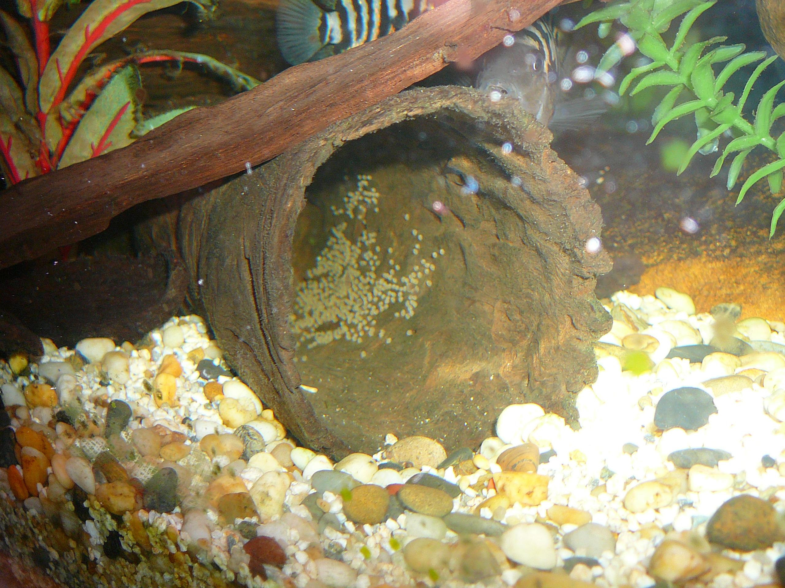 how to tell male and female convict cichlids apart