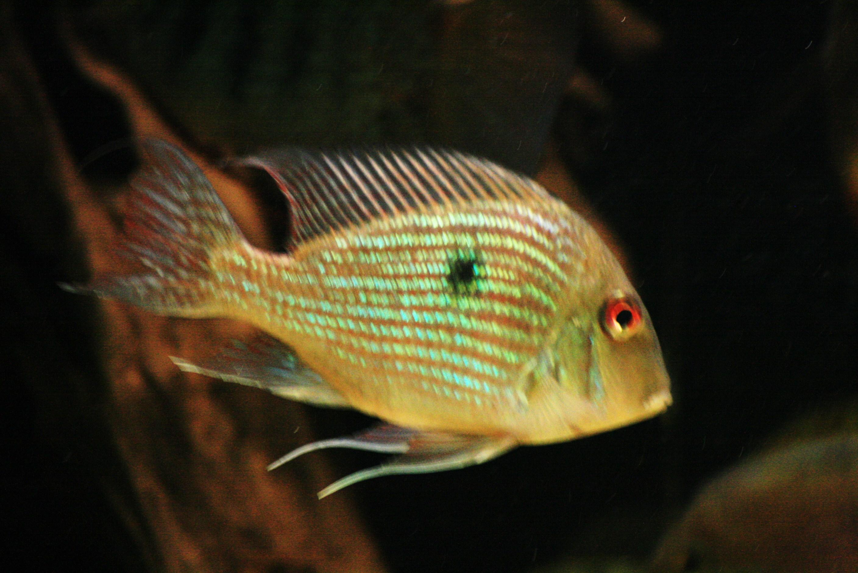 cichlids.com: Geophagus Pindare