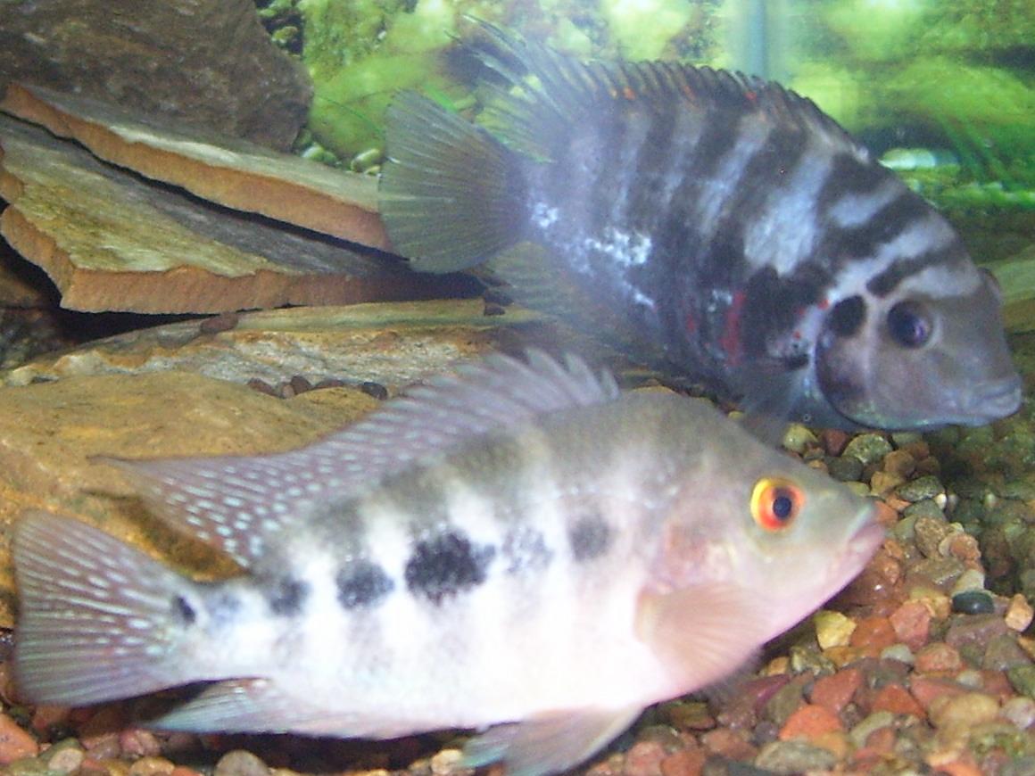 Juvenile red devil outgrowing con for Red devil fish