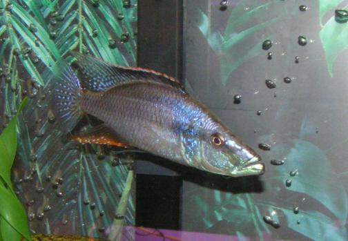 cichlids.com: Malawi Eye Biter