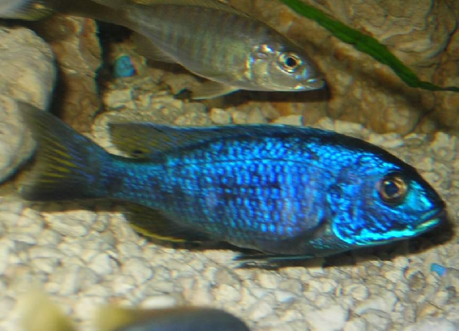 Electric Blue Hap : Electric Blue I - Sciaenochromis fryeri