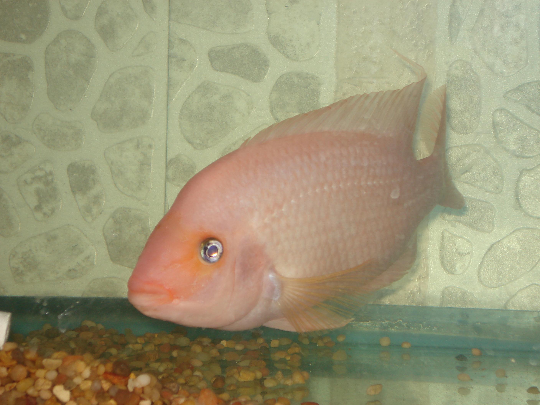 Real hard cichlids female red devil for Red devil fish for sale